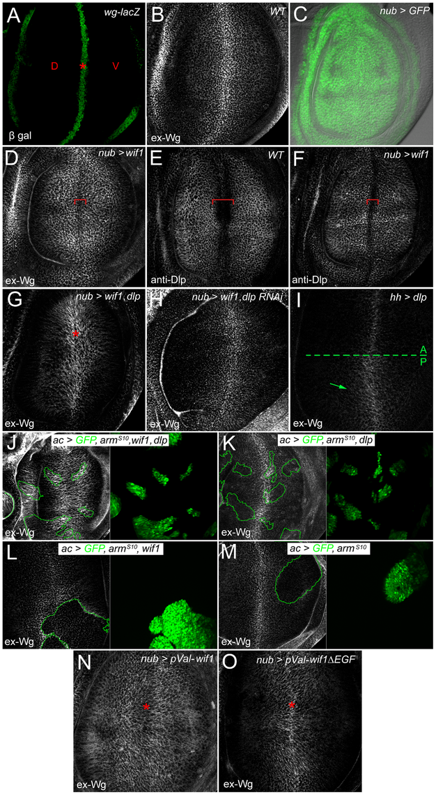 Wif1 stabilizes Wg on Dlp-expressing cells in late third instar wing discs.