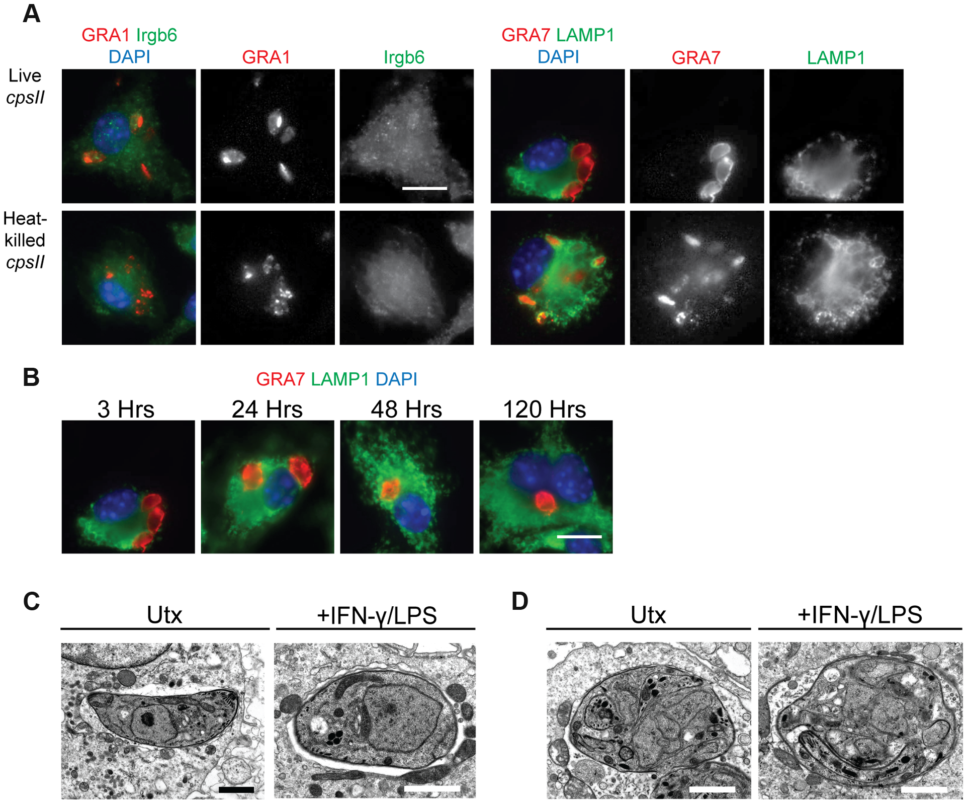 The fate of heat-killed and live <i>cpsII</i> parasites in host cells.