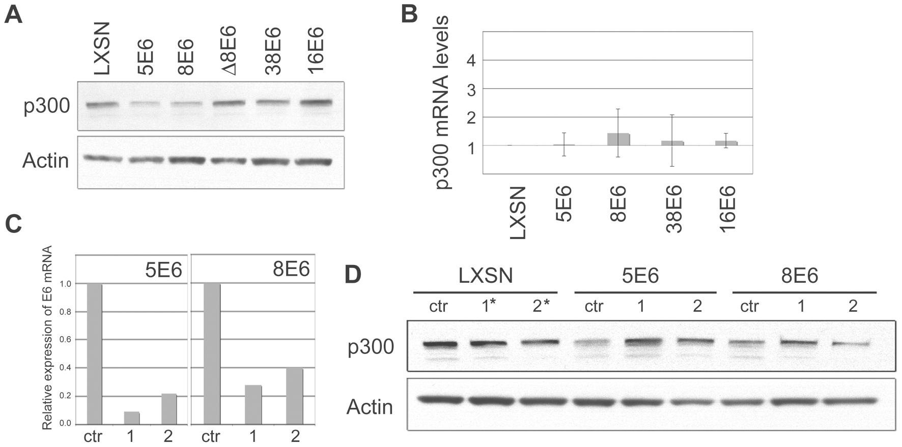 β HPV 5 and 8E6 binding to p300 leads to p300 degradation.