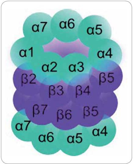 Struktura proteazomu. Čtyři prstence po 7 podjednotkách v pořadí αββα.