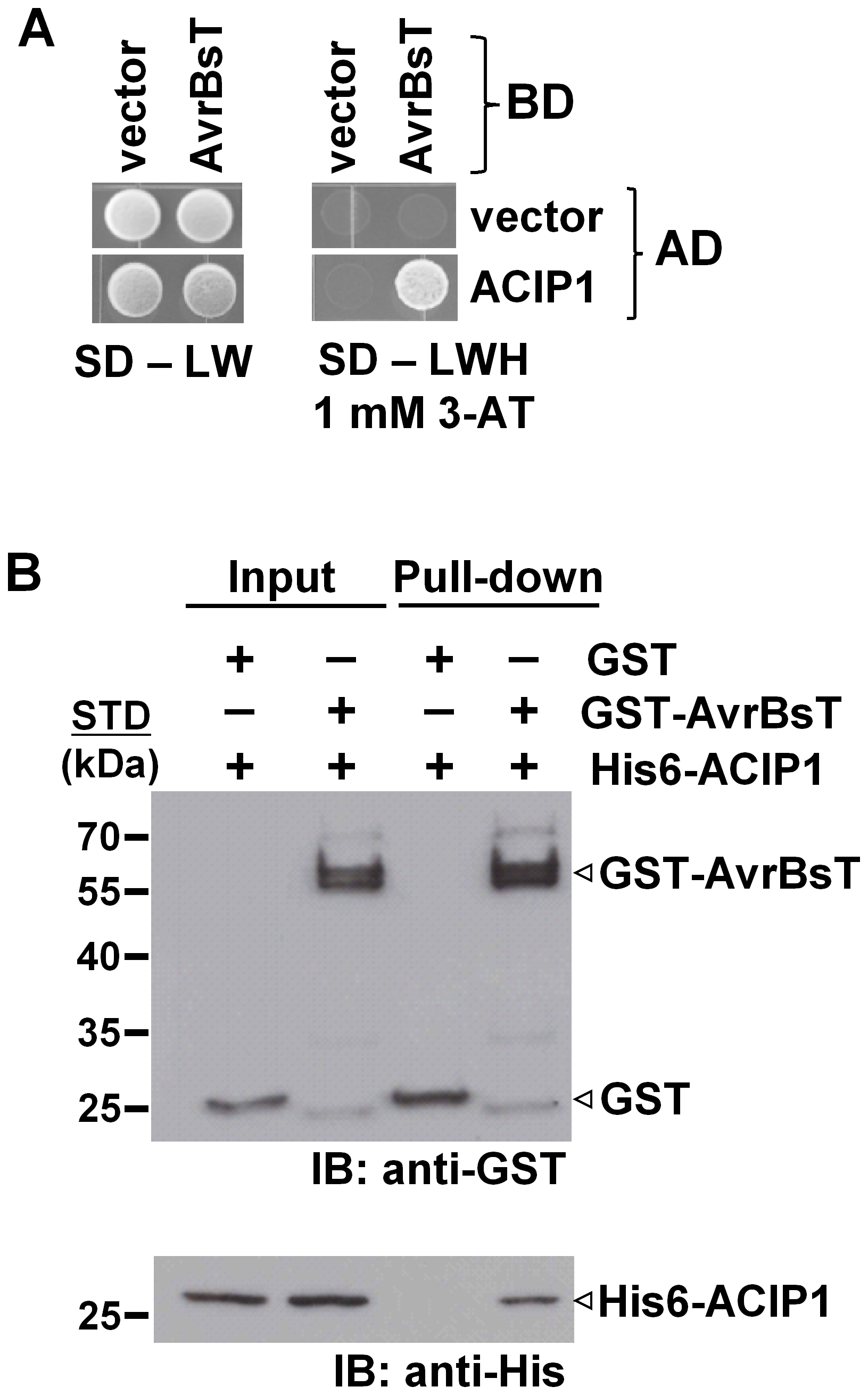 AvrBsT interacts with <i>Arabidopsis</i> ACIP1.