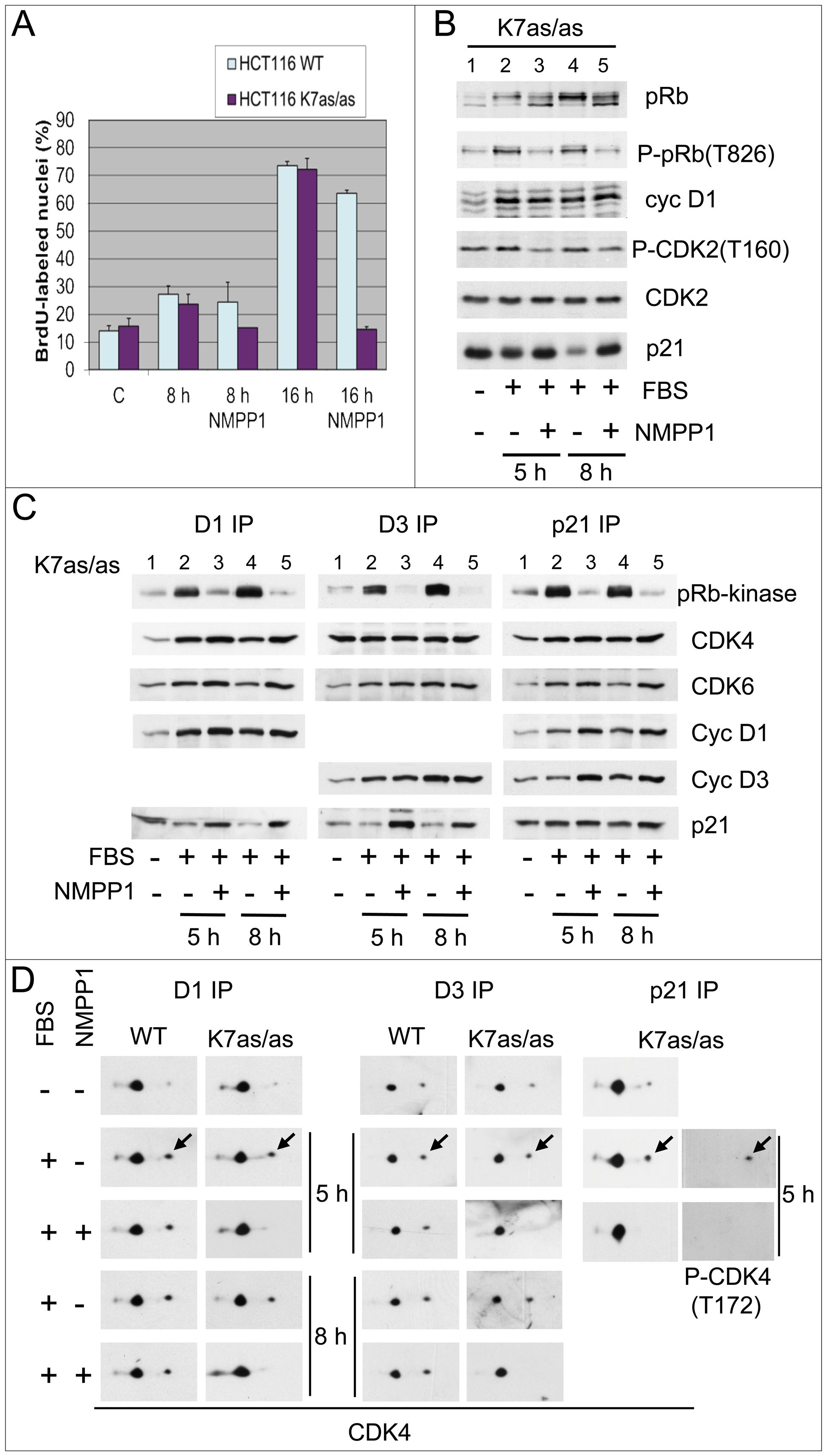 Specific inhibition of CDK7 by 1-NMPP1.
