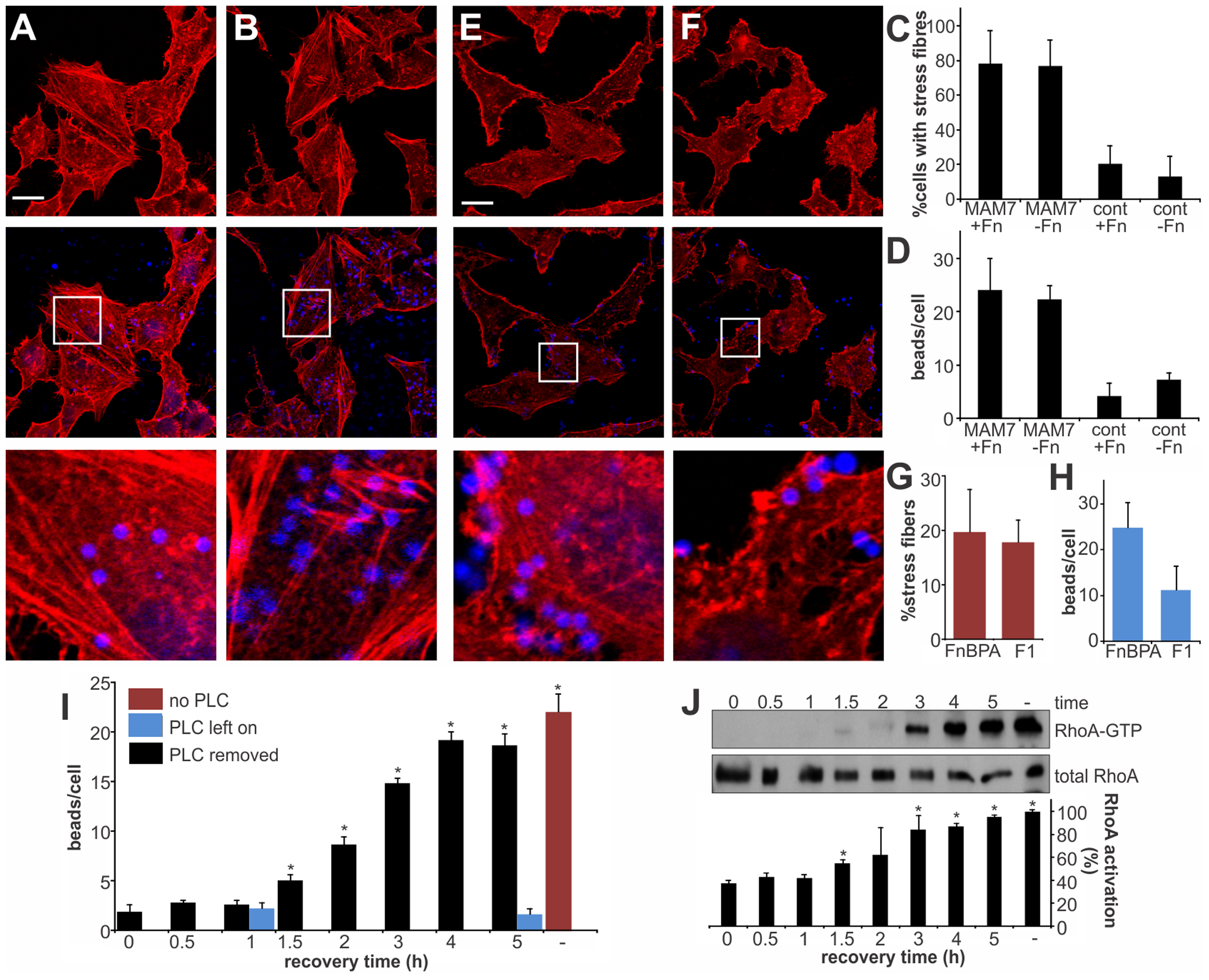 RhoA activation depends on MAM binding to phosphatidic acids and is independent of the co-receptor fibronectin.