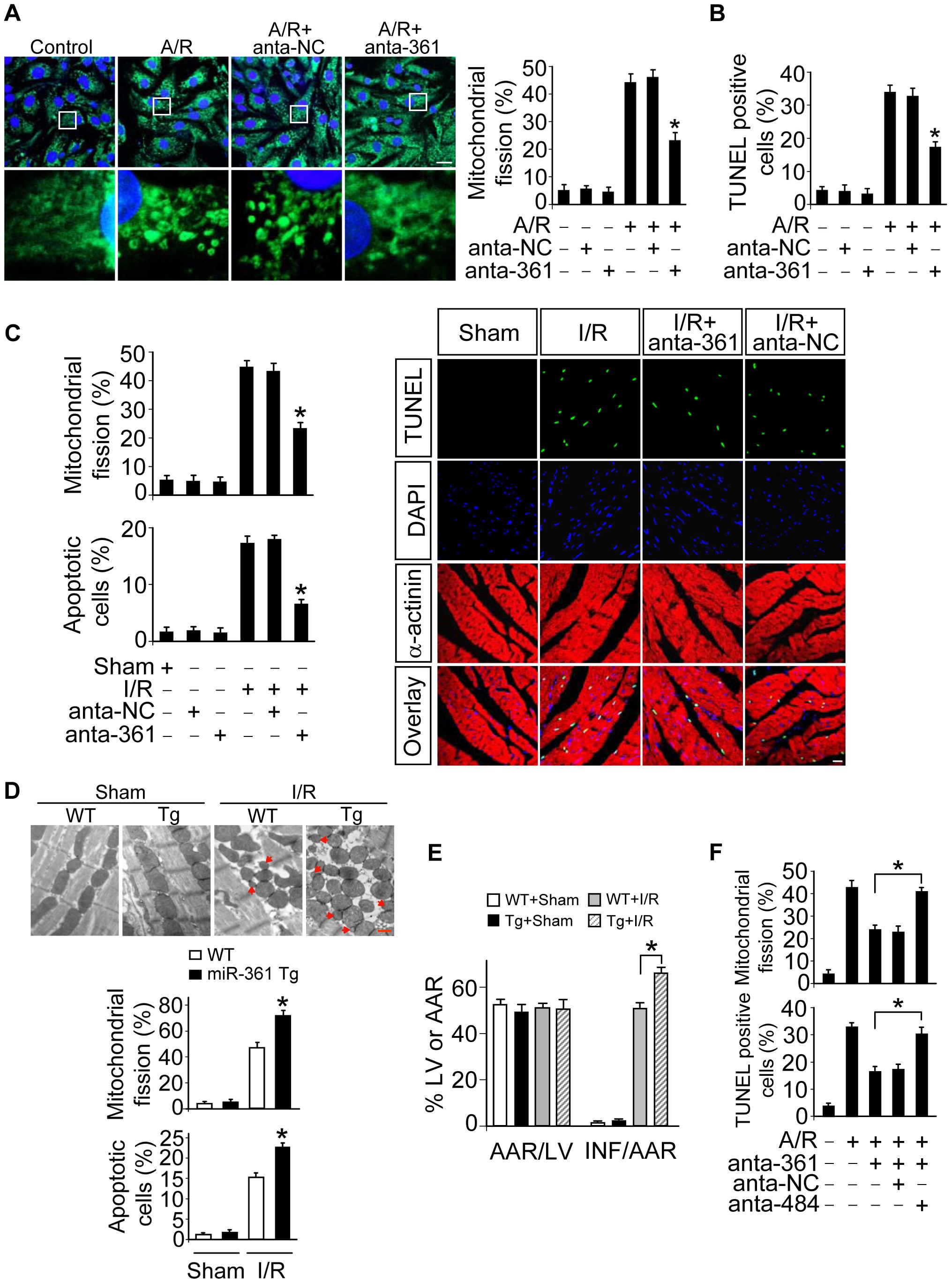 miR-361 provokes mitochondrial fission program.
