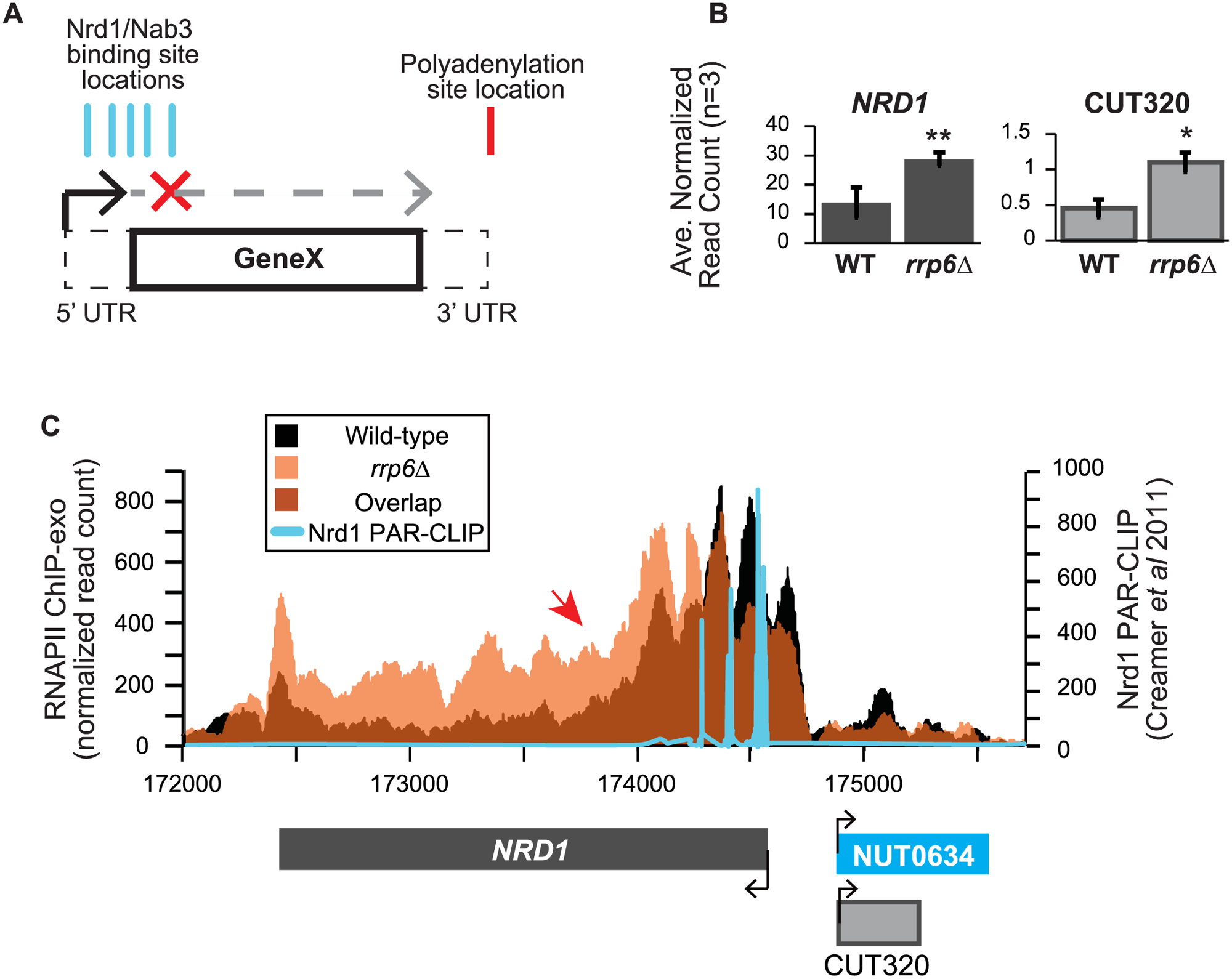 <i>NRD1</i> early termination requires Rrp6 for efficient RNAPII termination.