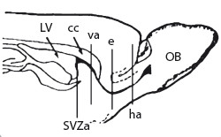 Fig. 1. Schematic sagittal view of the rat forebrain. Vertical lines point to the individual parts along the SVZ-OB axis, where the Ki-67<sup>+</sup> cells were counted [22].  SVZa – anterior horn of the subvetricular zone, cc – corpus callosum, LV – lateral ventricle, va – vertical arm, e – elbow, ha – horizontal arm of the RMS, OB – olfactory bulb