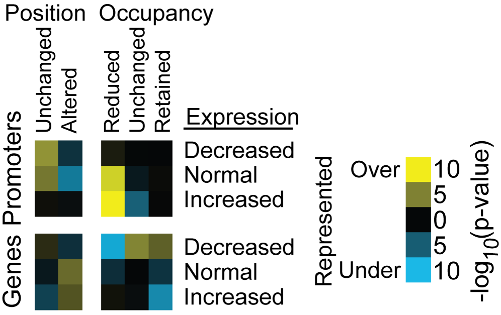 Nucleosomes with reduced occupancy are overrepresented in promoters of genes with increased expression following H3 depletion.