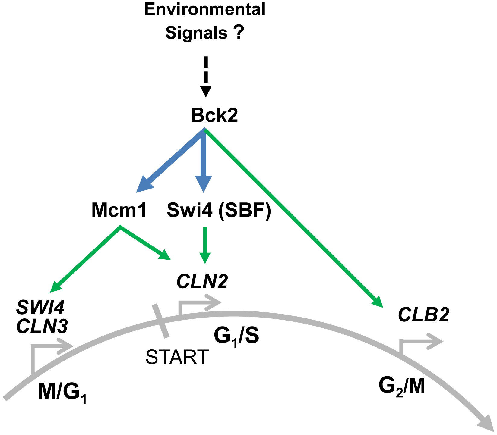 Summary of Bck2-dependent regulation of cell cycle gene expression.