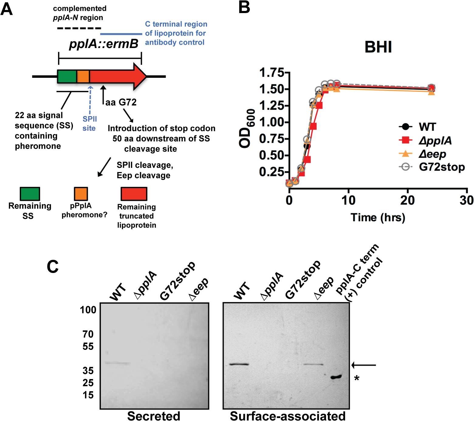 Construction of <i>L</i>. <i>monocytogenes</i> mutants that lack the PplA lipoprotein but retain peptide pheromone secretion.