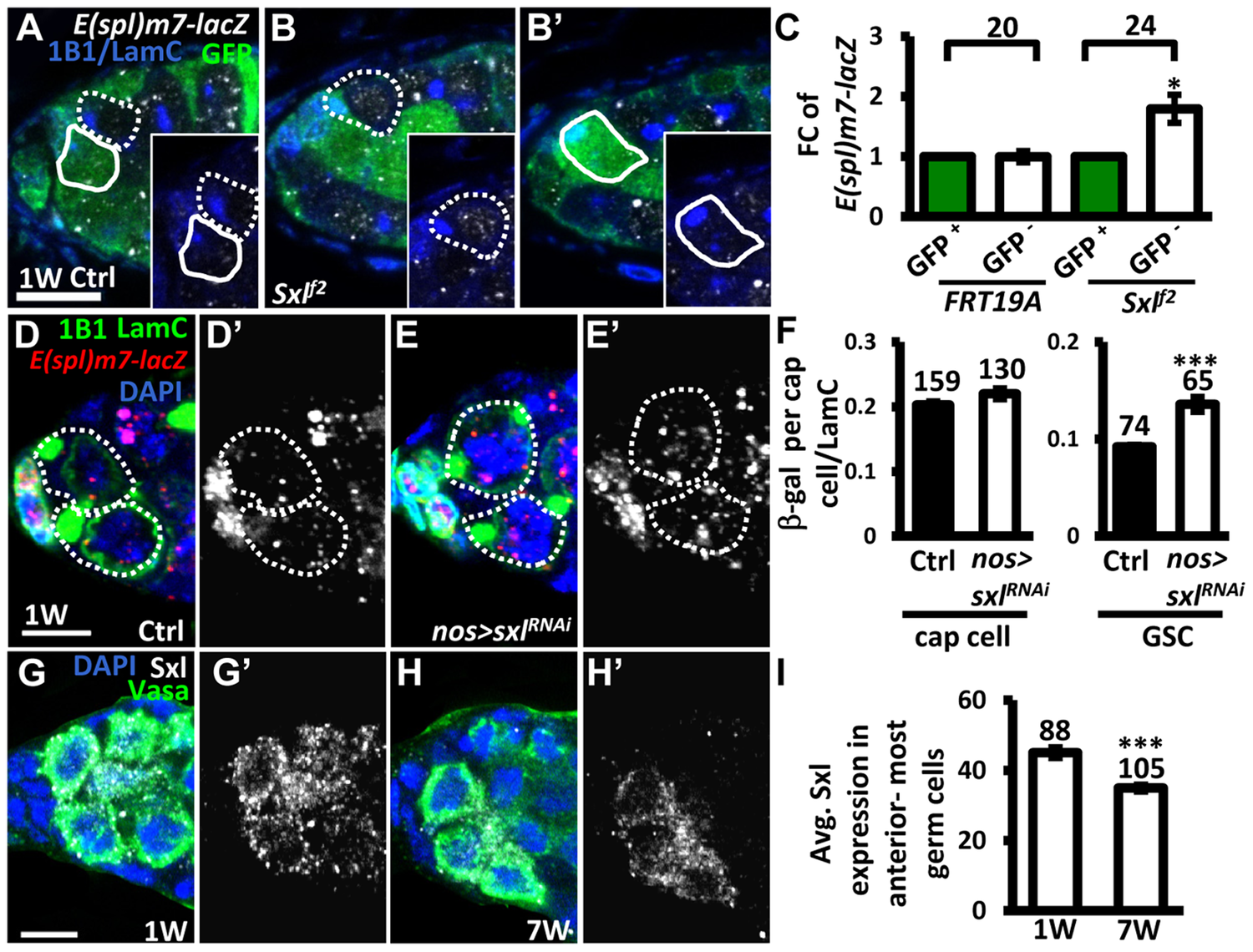 Sxl negatively regulates Notch signaling in GSCs, and its expression is reduced in GSCs with age.