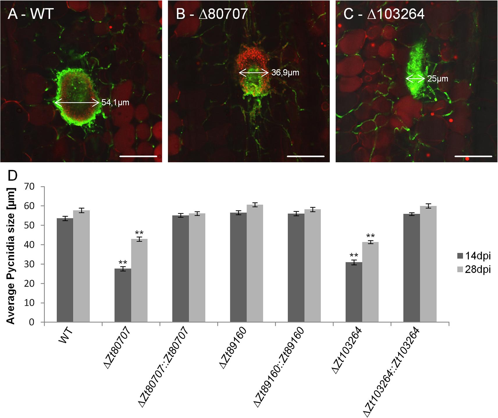 Confocal laser scanning microscopy image analyses of pycnidia of wild and mutant <i>Z</i>. <i>tritici</i>.