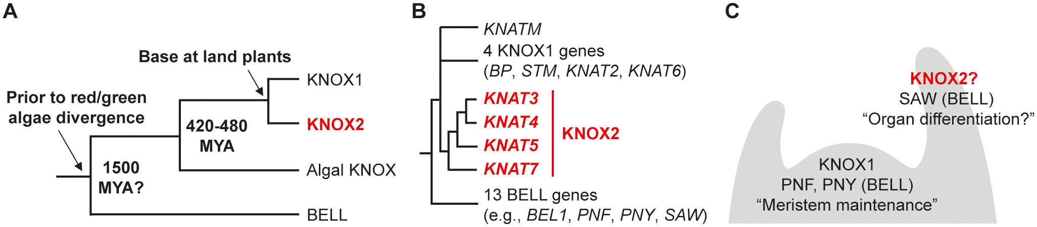 Phylogeny and expression patterns of KNOX and BELL genes.
