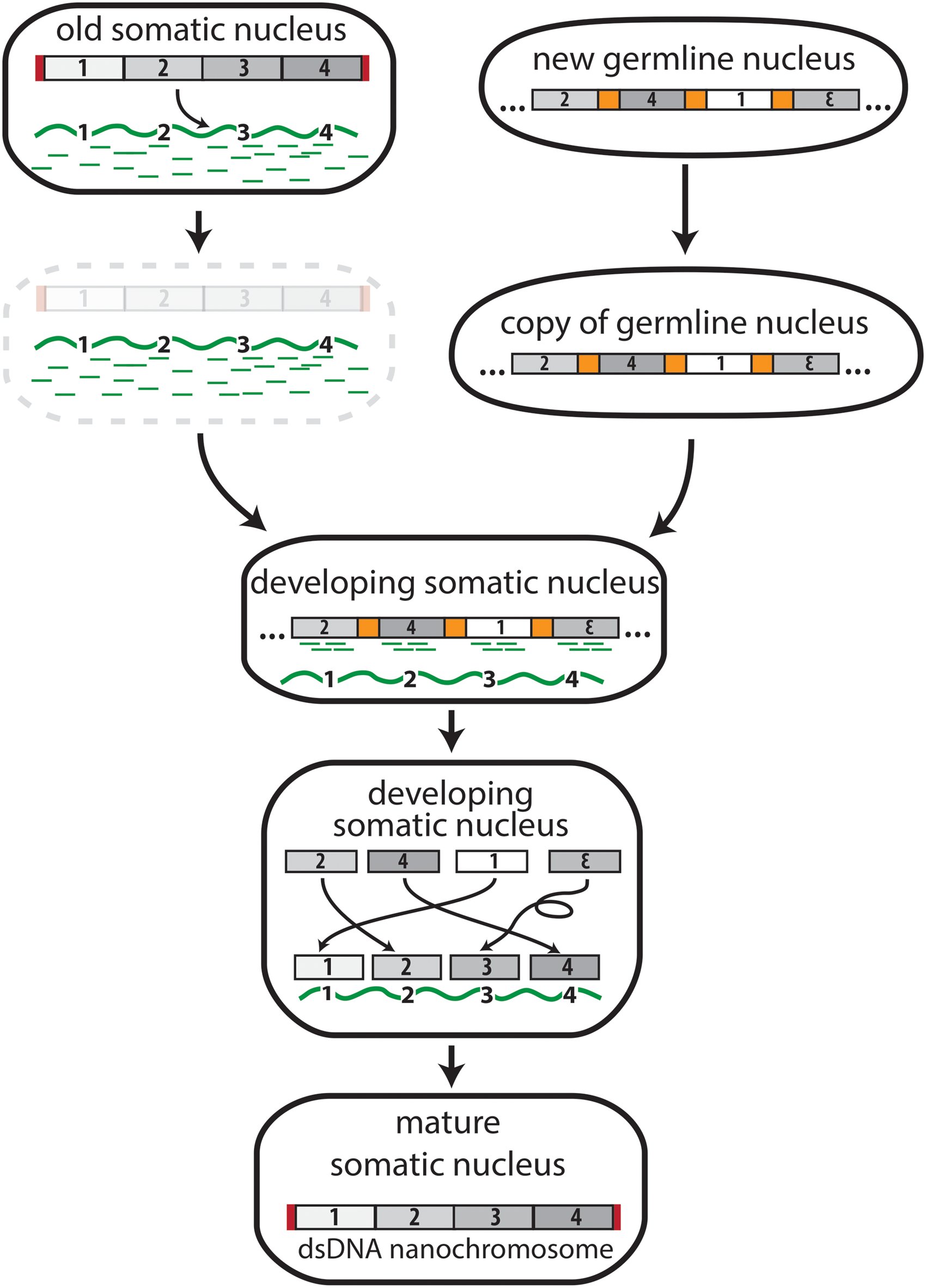 The transfer of genomic information from DNA to RNA in <i>Oxytricha trifallax</i>.