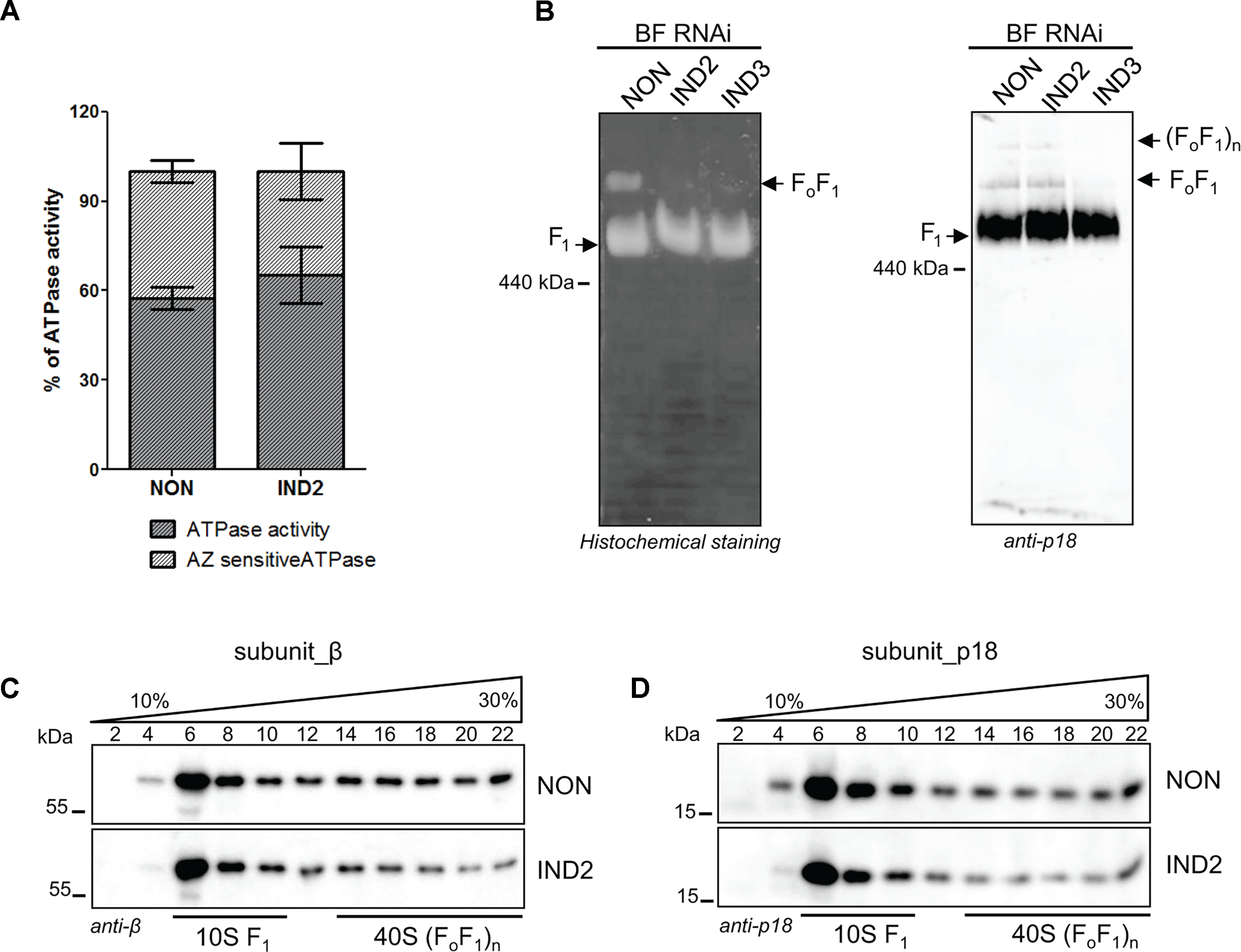 ATPaseTb2 depletion does not appreciably affect F<sub>1</sub>-ATPase activity in BF <i>T</i>.