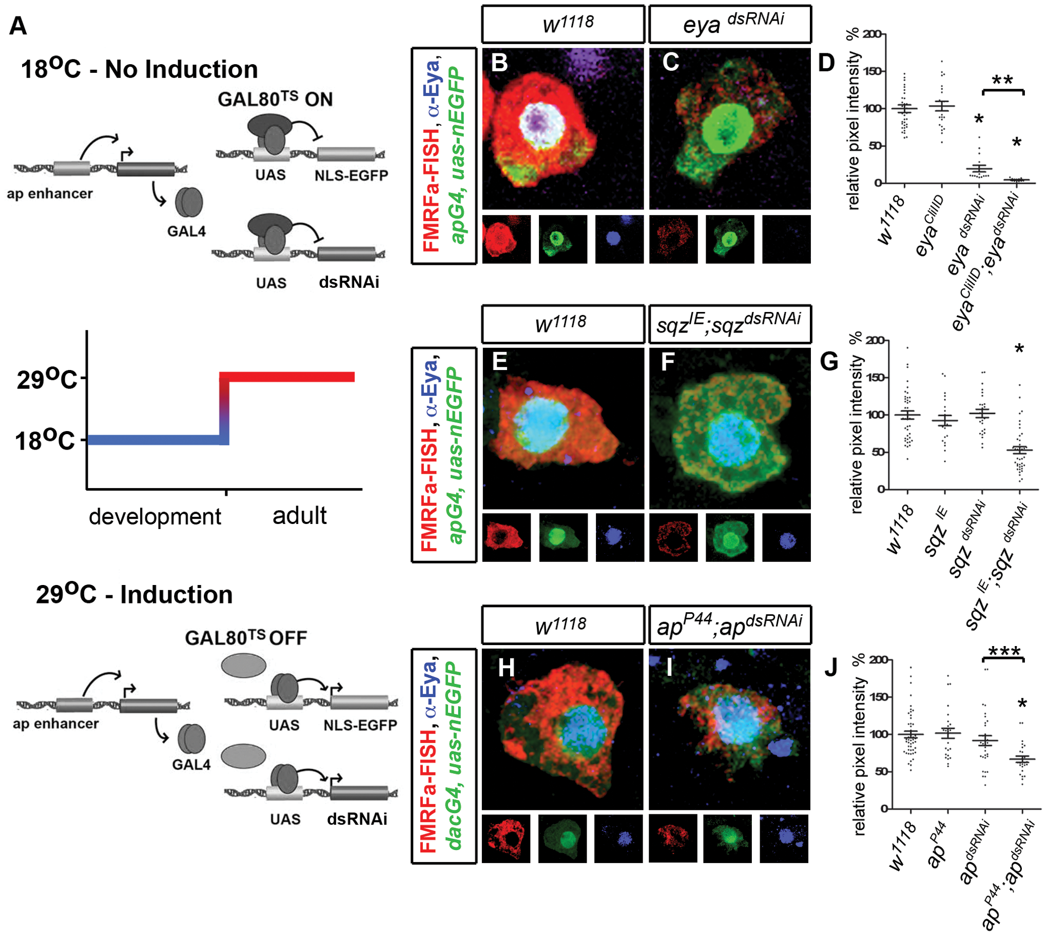 Transcription factors <i>ap</i>, <i>eya</i>, <i>sqz</i> are required for persistent FMRFa expression in the adult Tv4 neuron.