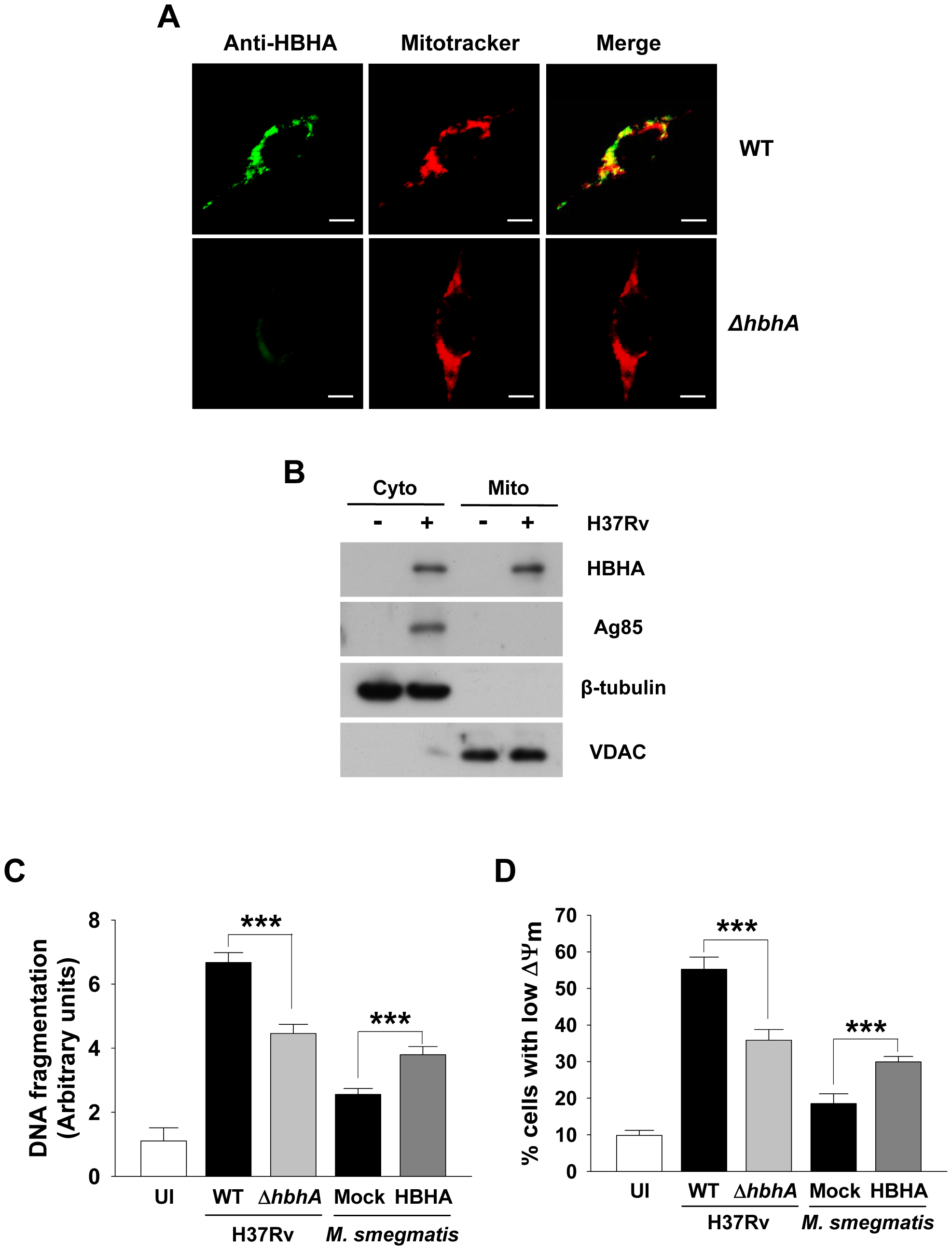 Disruption of <i>hbhA</i> decreases apoptosis and ΔΨ<sub>m</sub> dissipation in macrophages infected with <i>M. tuberculosis</i>.