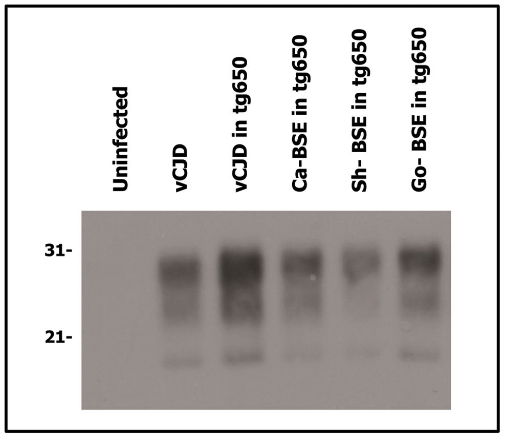 Western blots analysis of PrP<sup>res</sup> in the brains of tg650 mice infected with human, bovine, ovine and goat isolates.