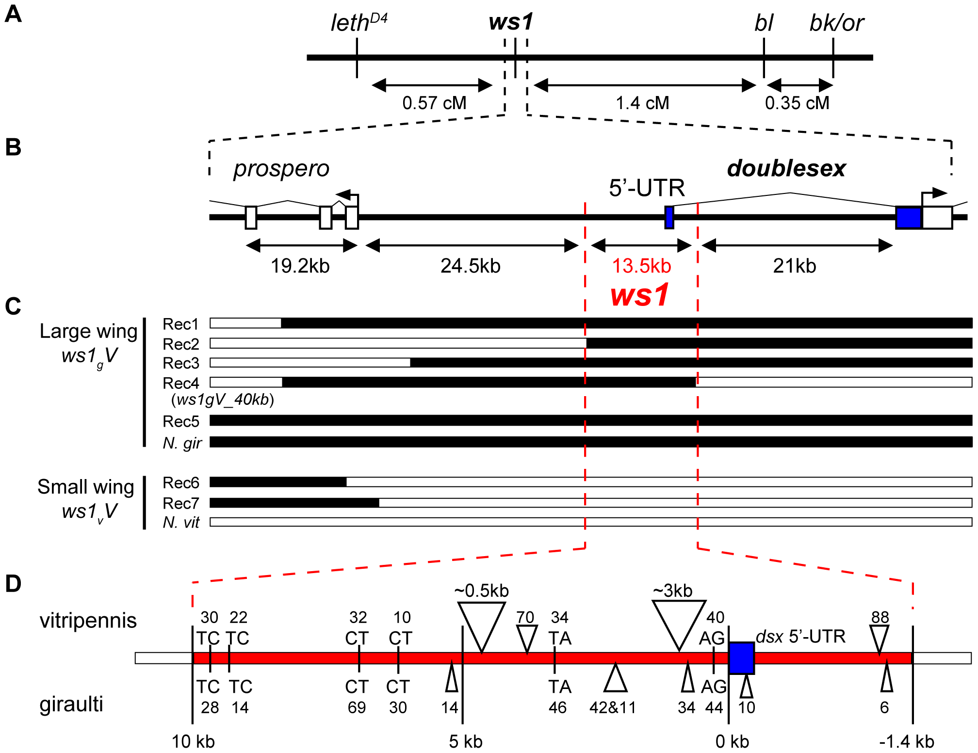 Positional cloning: <i>ws1</i> maps to the <i>doublesex</i> locus.