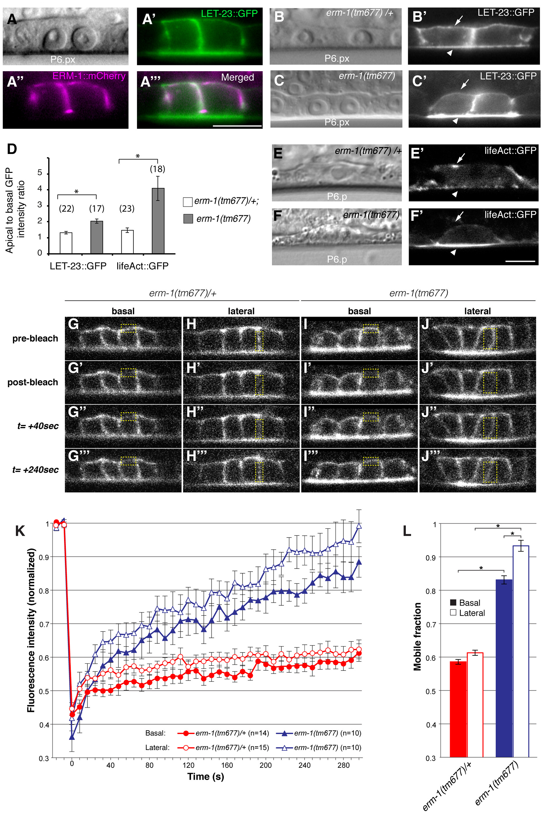 ERM-1 controls LET-23::GFP localization at the basolateral membrane of the vulval cells.