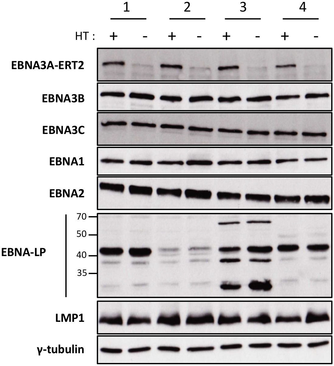 Validation of EBNA3A-ERT2 conditional LCLs.