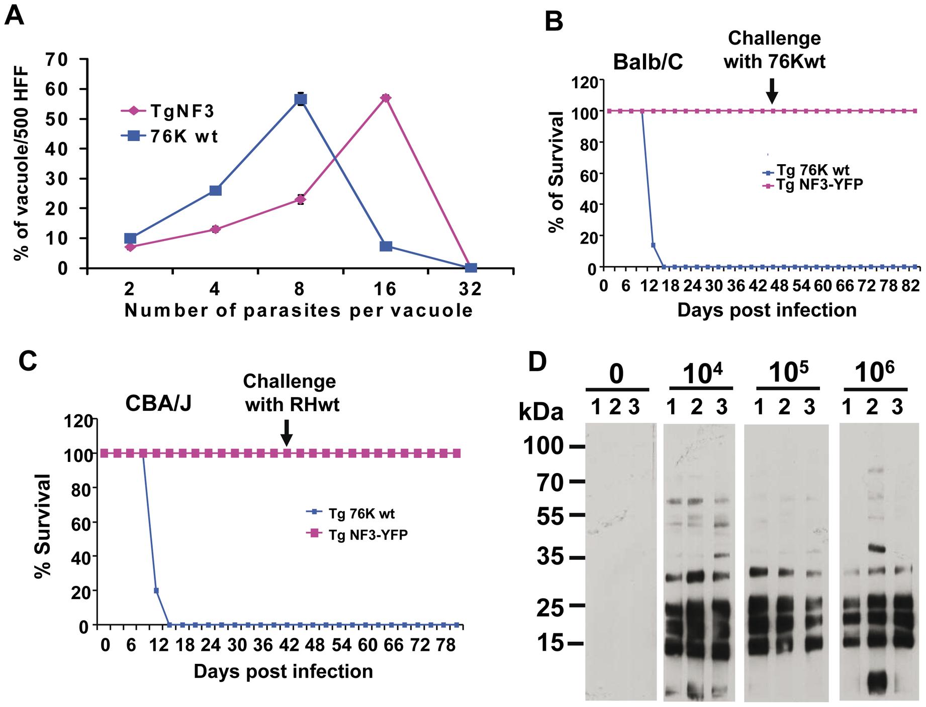 Ectopic expression of TgNF3 enhances parasite replication <i>in vitro</i> but drastically attenuates parasite virulence <i>in vivo</i>.