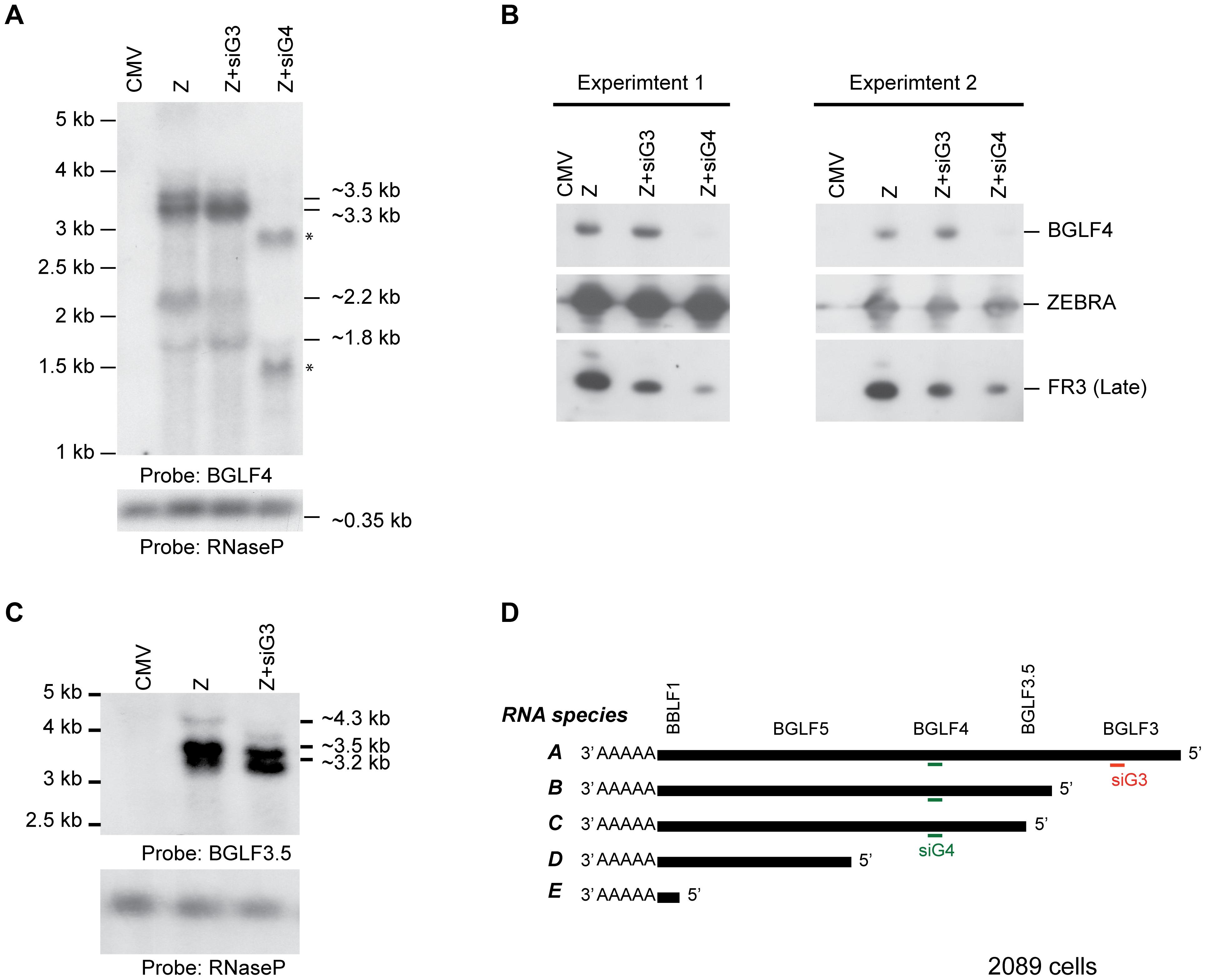 Knockdown of BGLF3 has no effect on expression of BGLF4.