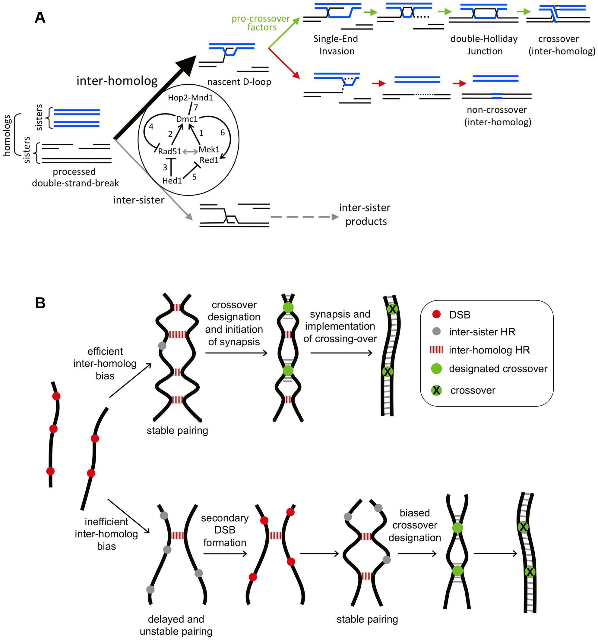 Models for Rad51-Dmc1 mediated interhomolog bias and homeostatic responses to inefficient interhomolog interactions.