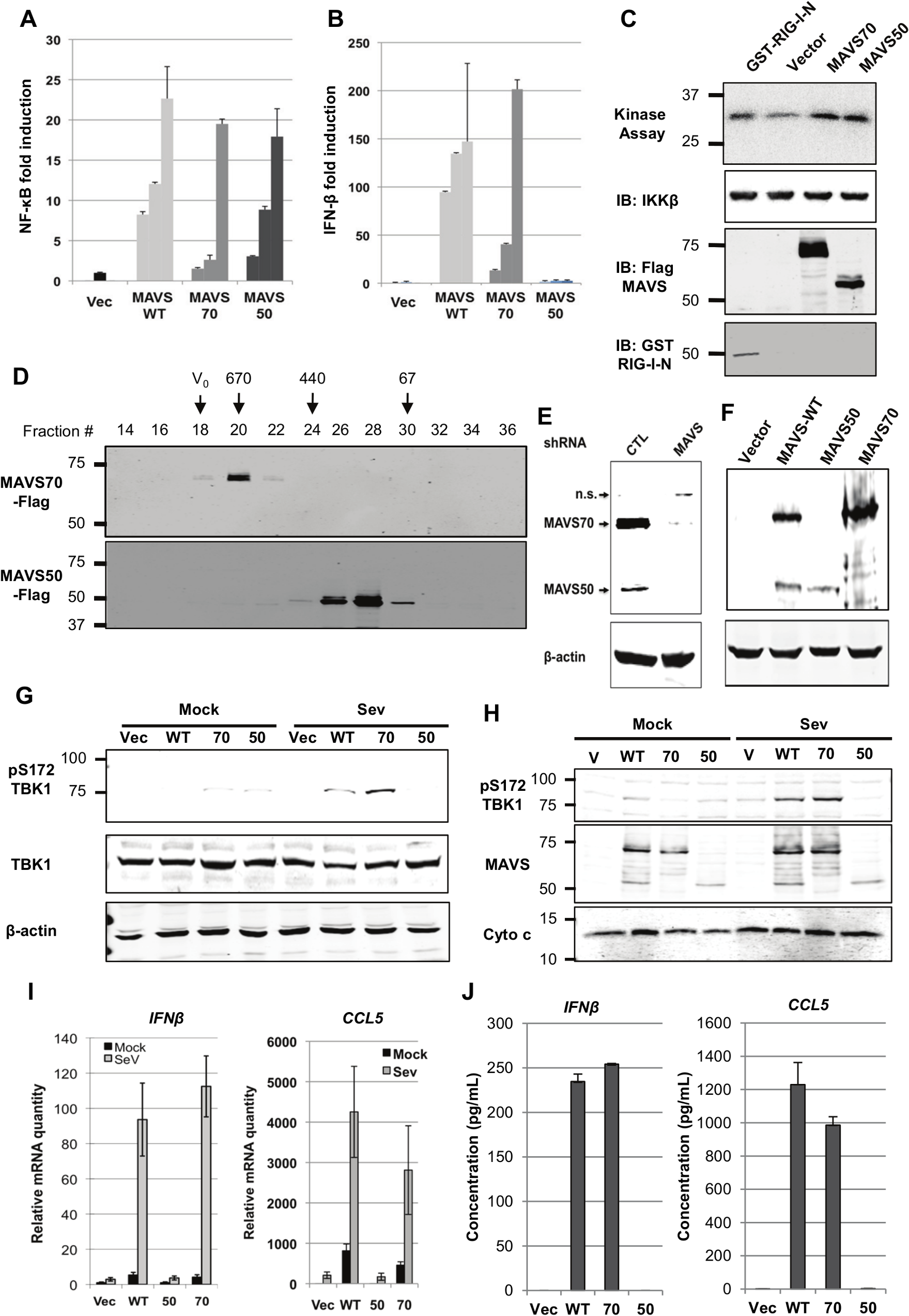 Characterize the roles of MAVS50 in RIG-I-dependent signaling.