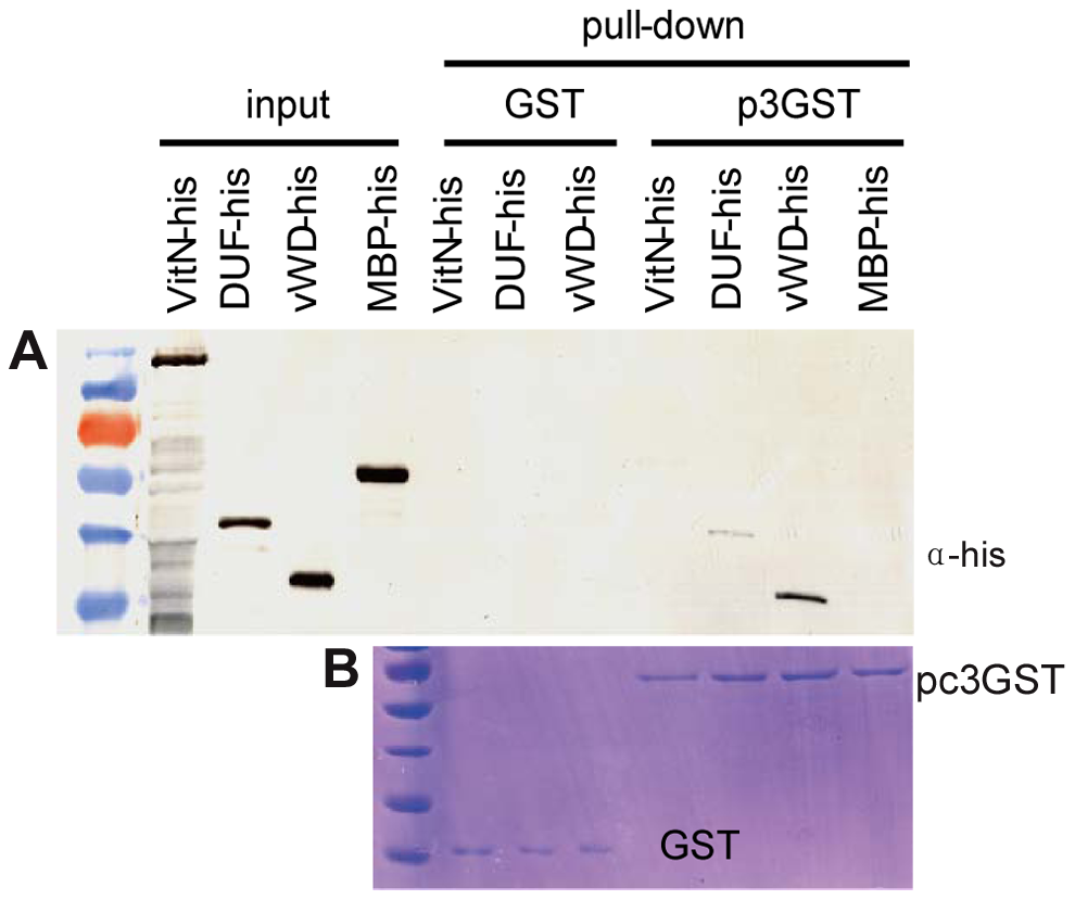 Analysis of interaction between RSV pc3 and different vitellogenin fragments <i>in vitr</i>.
