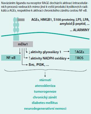 Schéma. Osa RAGE ligand – RAGE receptor – intracelulární změny
