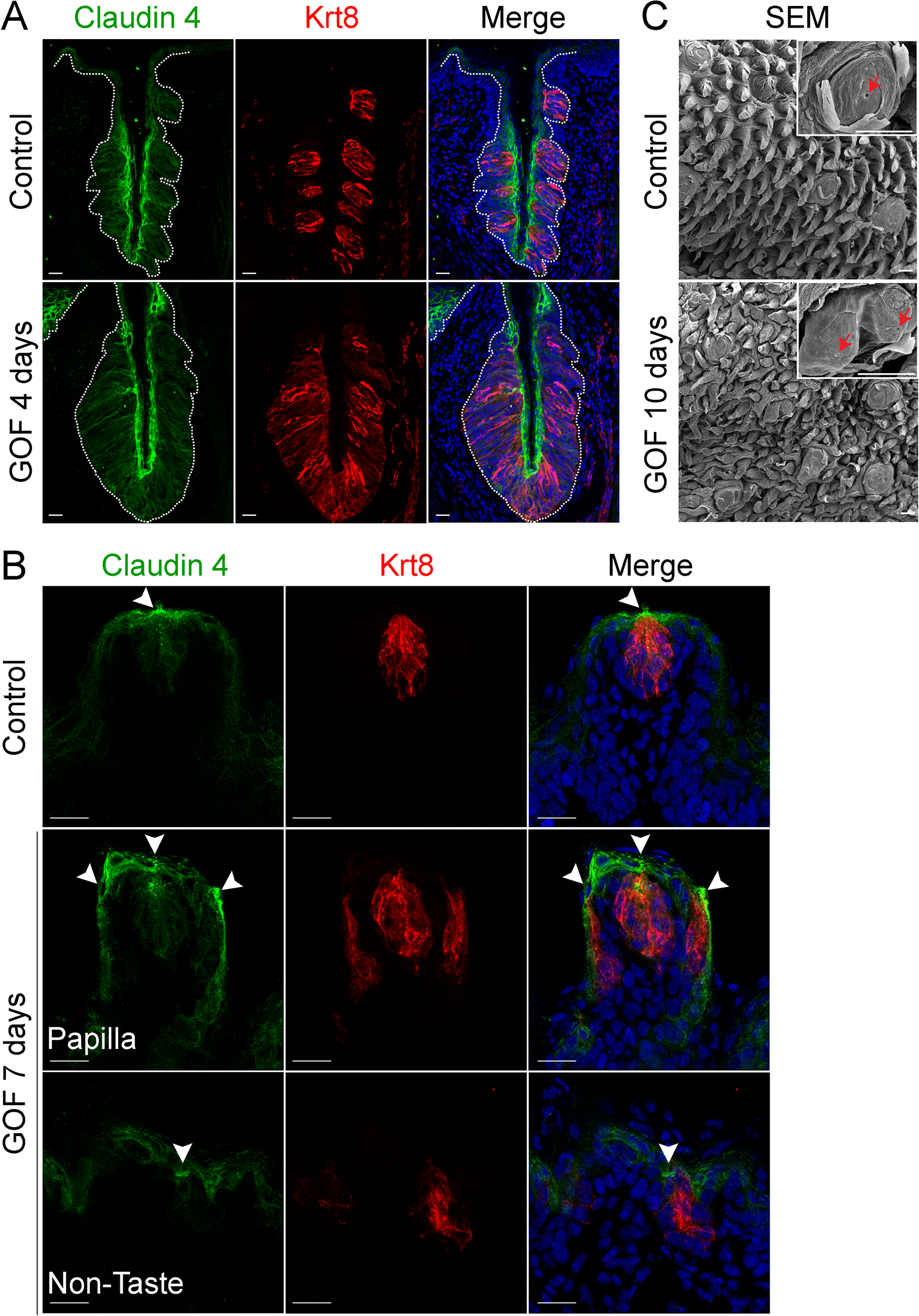 Expression of Claudin4 and evidence of taste pores suggests appropriate cell contacts are induced and maintained in mutant taste buds with stabilized β-catenin.