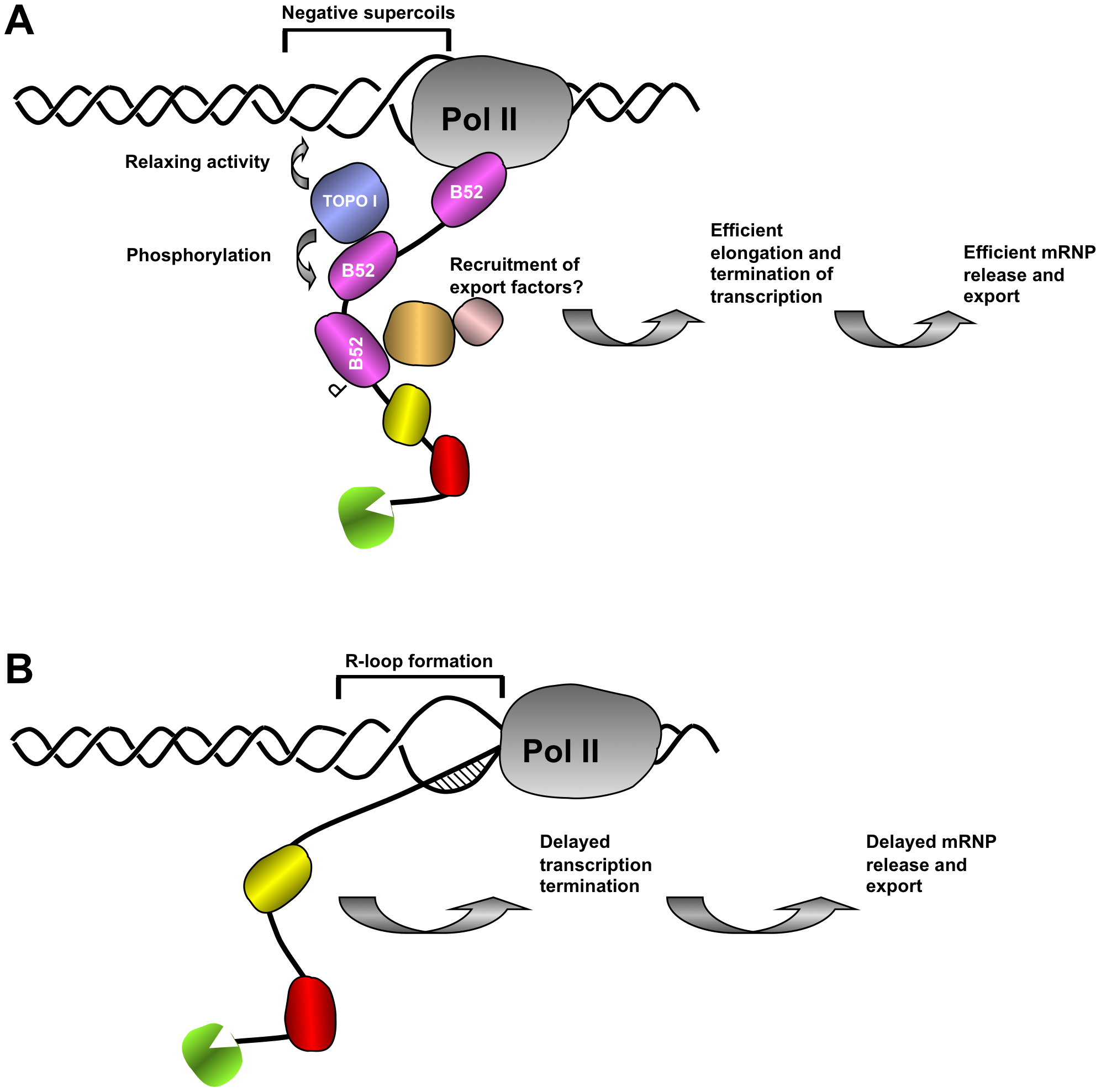 Proposed model of the coordination between nascent mRNP release and DNA supercoiling mediated by SR protein B52 and Topo I.