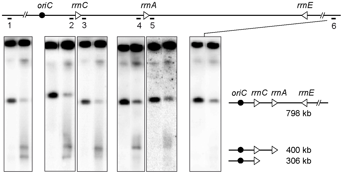 <i>rrn</i> operons are a barrier to DNA degradation.