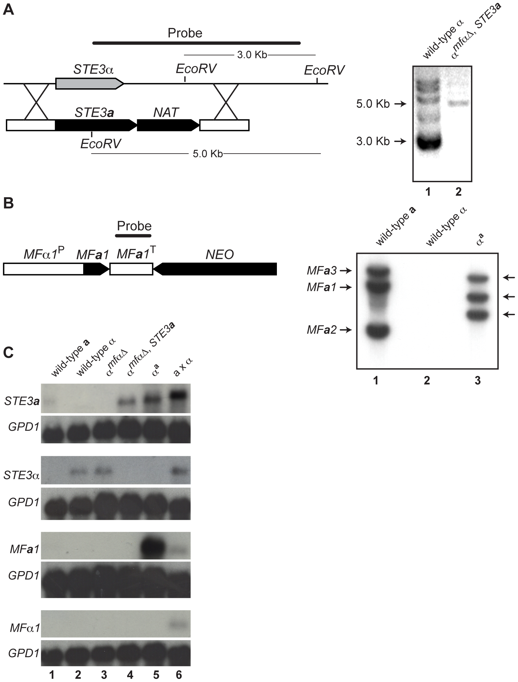 Southern and northern analyses of wild-type and modified α strains.