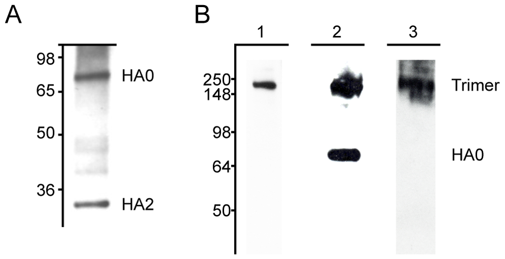 MAbs react with H3 hemagglutinin by western blot.
