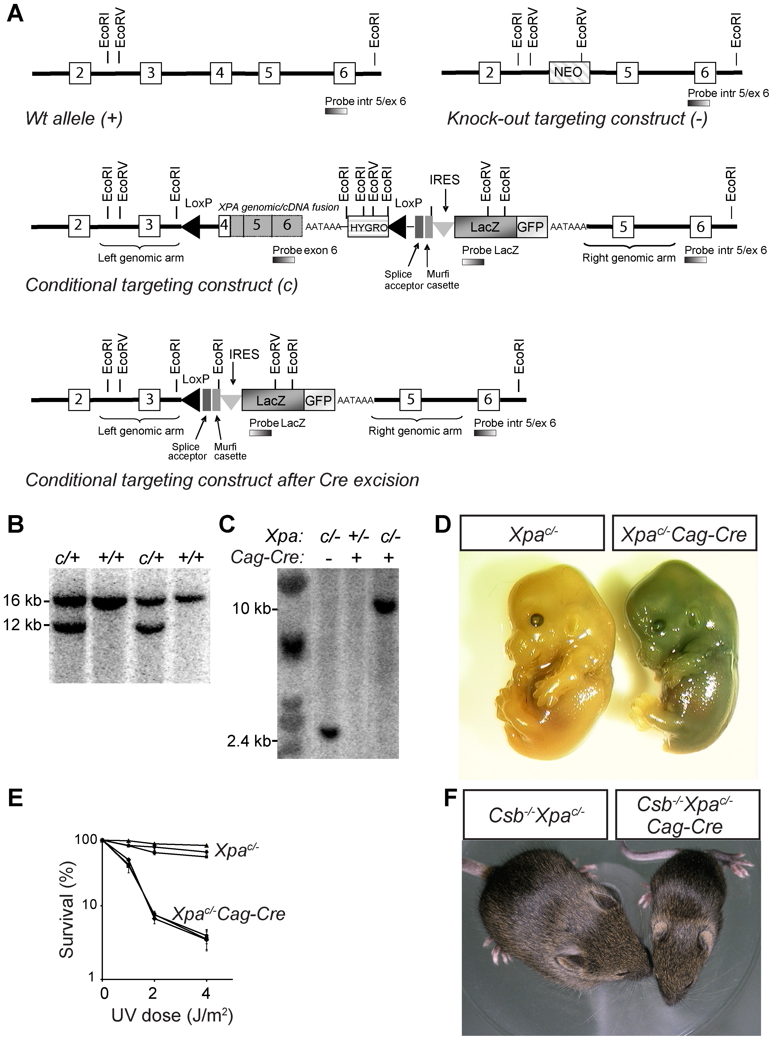 Generation of conditional <i>Xpa<sup>c/−</sup></i> mouse with a floxed genomic/cDNA fusion construct.