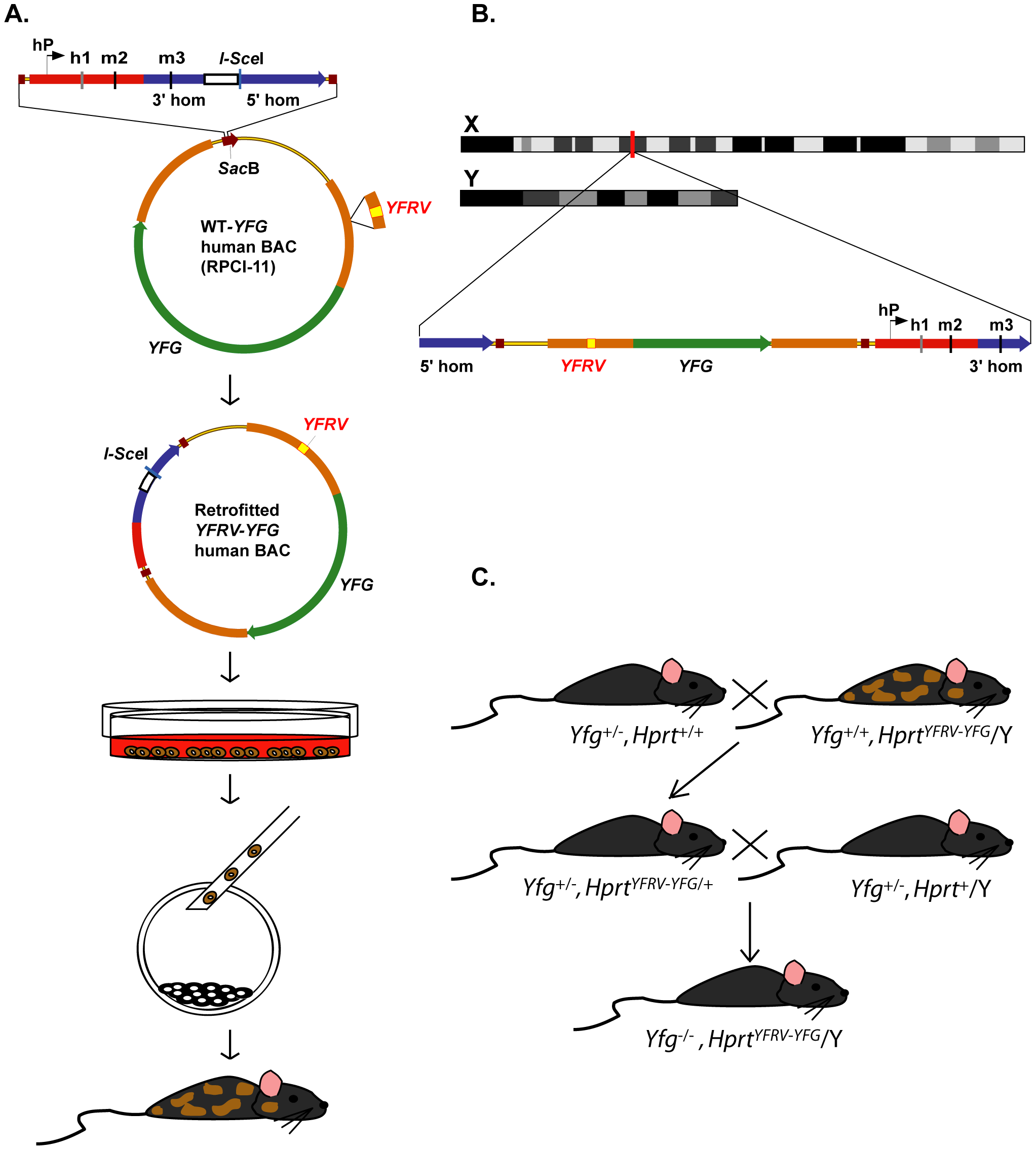 Strategy for high-throughput human genes on the X chromosome (HuGX).