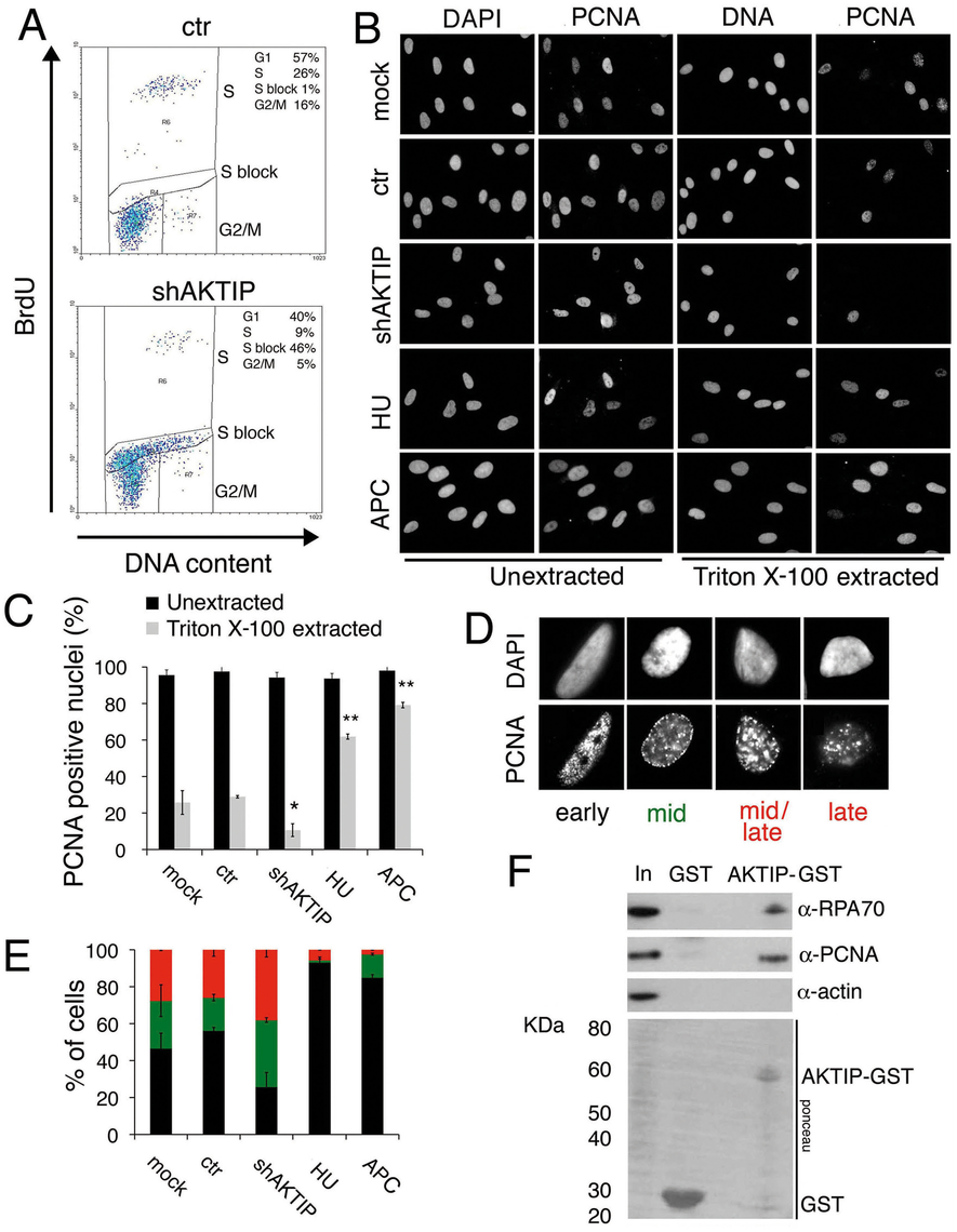 AKTIP downregulation impairs DNA replication.