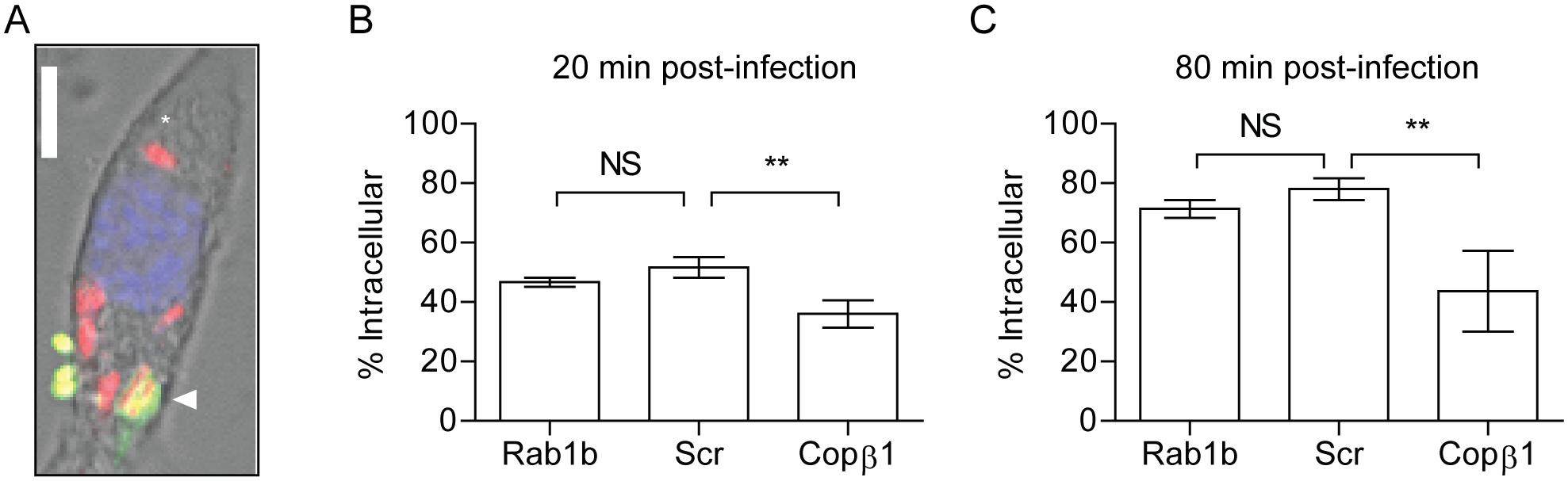 Rab1b knockdown does not impact <i>Y</i>. <i>pestis</i> invasion of macrophages.
