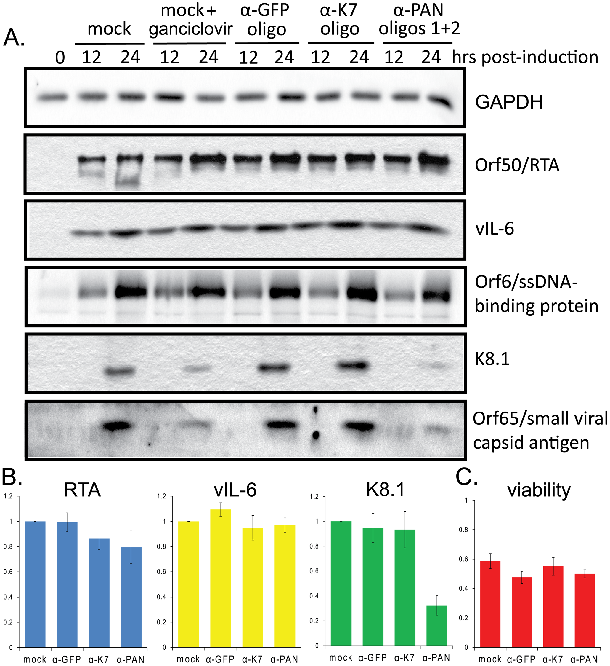 Knockdown of PAN RNA expression adversely affects late gene expression in BCBL1 TReX-RTA cells.