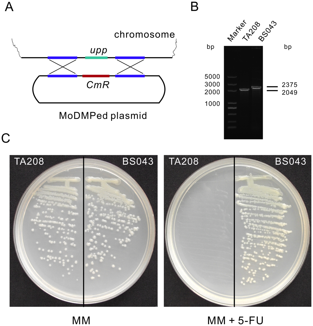 Inactivation of <i>upp</i> in <i>B. amyloliquefaciens</i> TA208 using an integration plasmid that underwent the MoDMP pipeline.