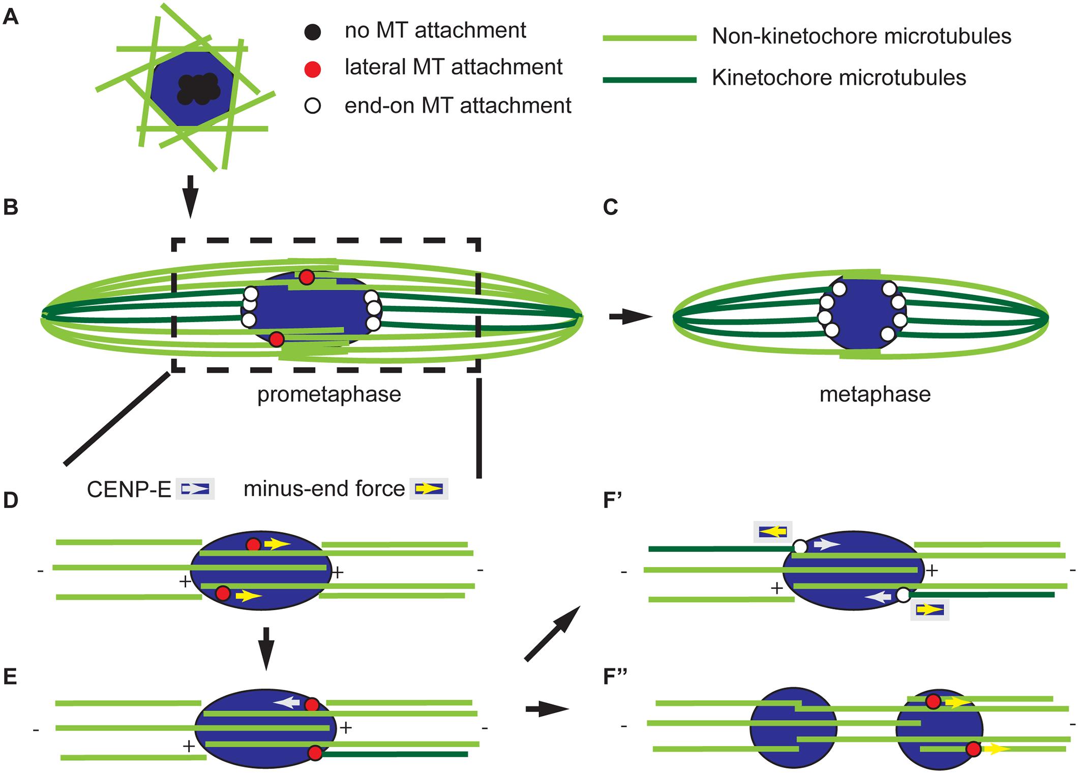 Model for acentrosomal spindle assembly and chromosome orientation.