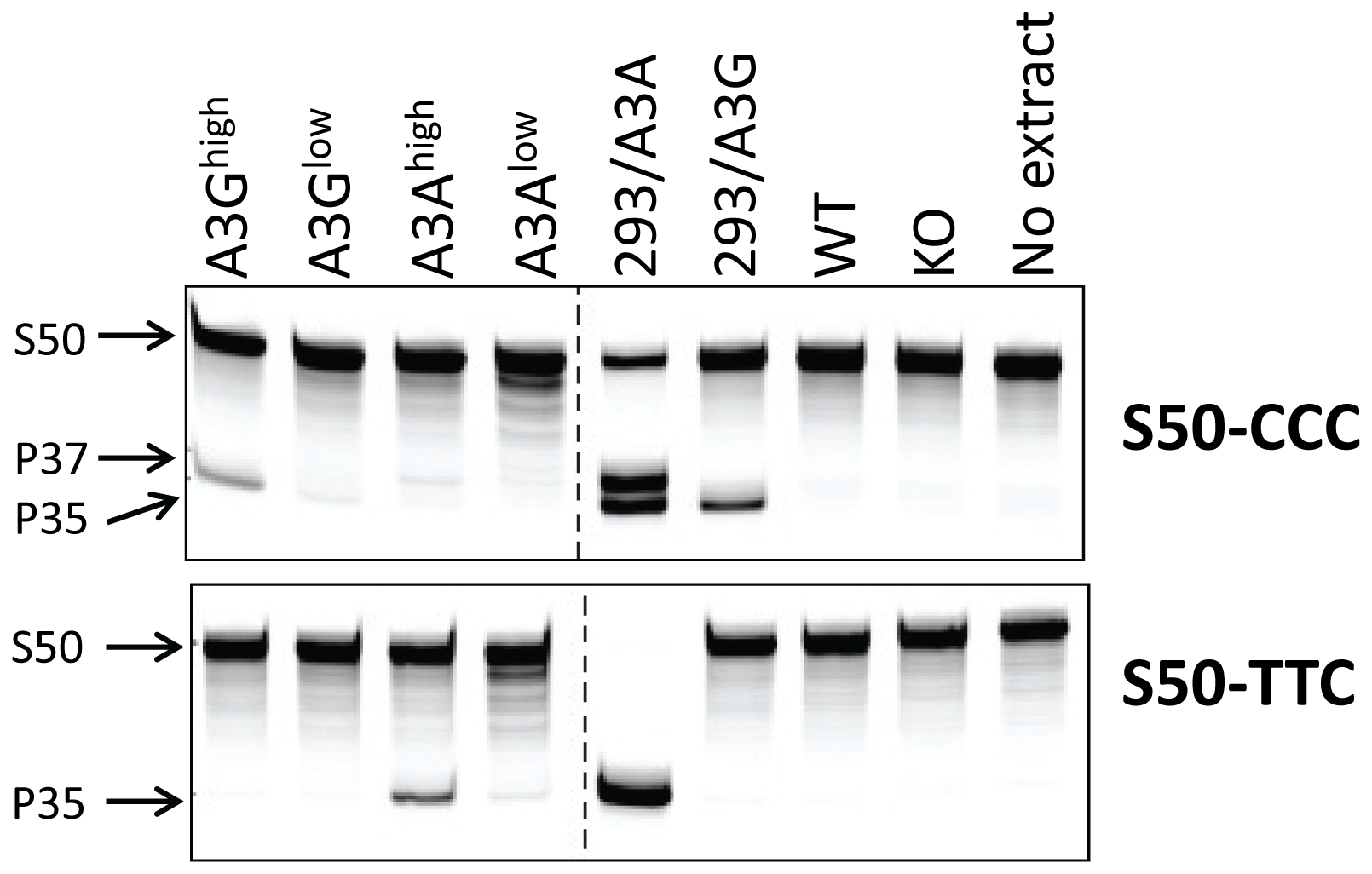 Cellular lysates from splenocytes derived from uninfected transgenic, wild type (BL/6) or mA3 knockout (KO) mice or from 293T cell lines over-expressing A3A or A3G were incubated with a 3′-fluorophore labeled 50-mer single-stranded oligonucleotide (S50) containing cytosine in the sequence context preferred by A3G (S50-CCC) or A3A (S50-TTC).