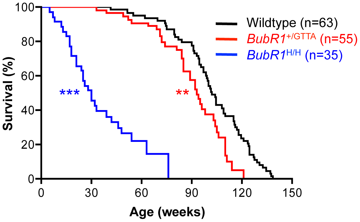 Lifespan of <i>BubR1</i><sup>+/GTTA</sup> is reduced.