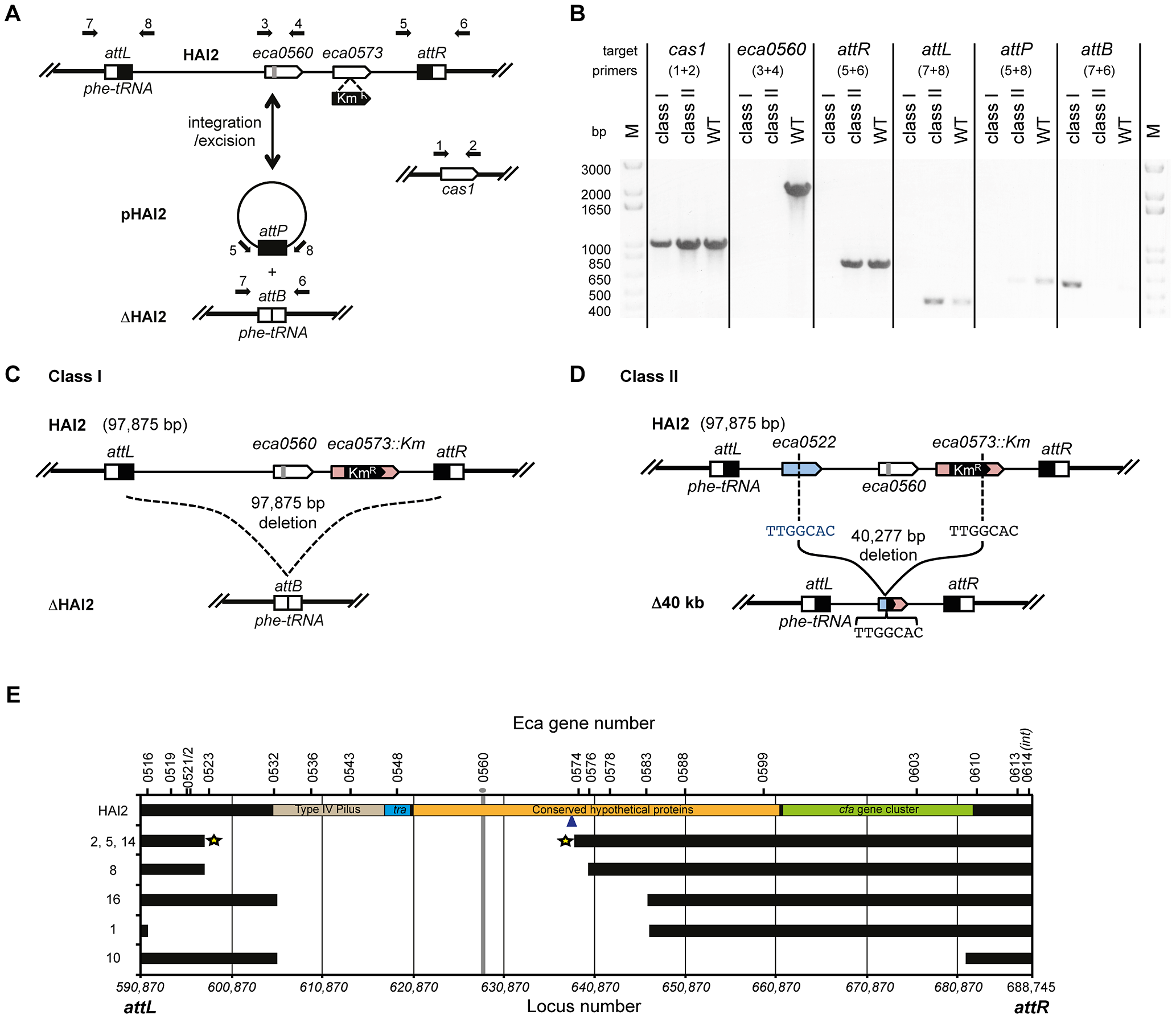 CRISPR/Cas–mediated chromosomal targeting causes rapid genome evolution.