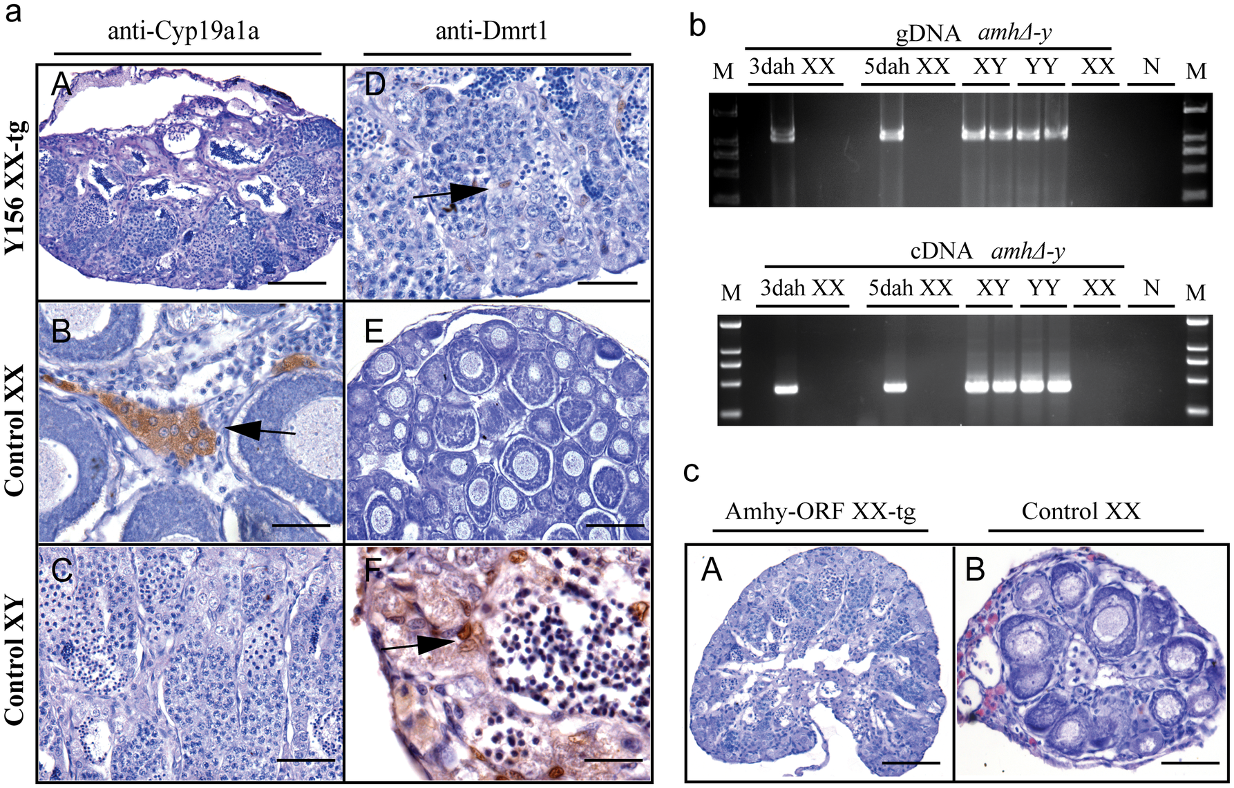 Transgenic overexpression of Y156 fosmid and Amhy ORF resulted in sex reversal in F<sub>0</sub> XX fish.