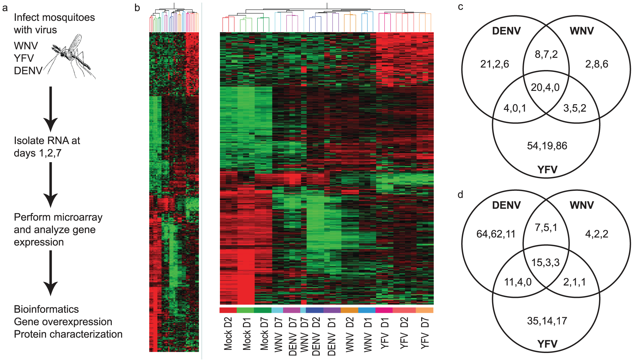 Genome-wide microarray analysis of the mosquito transcriptome during WNV, DENV and YFV infection.