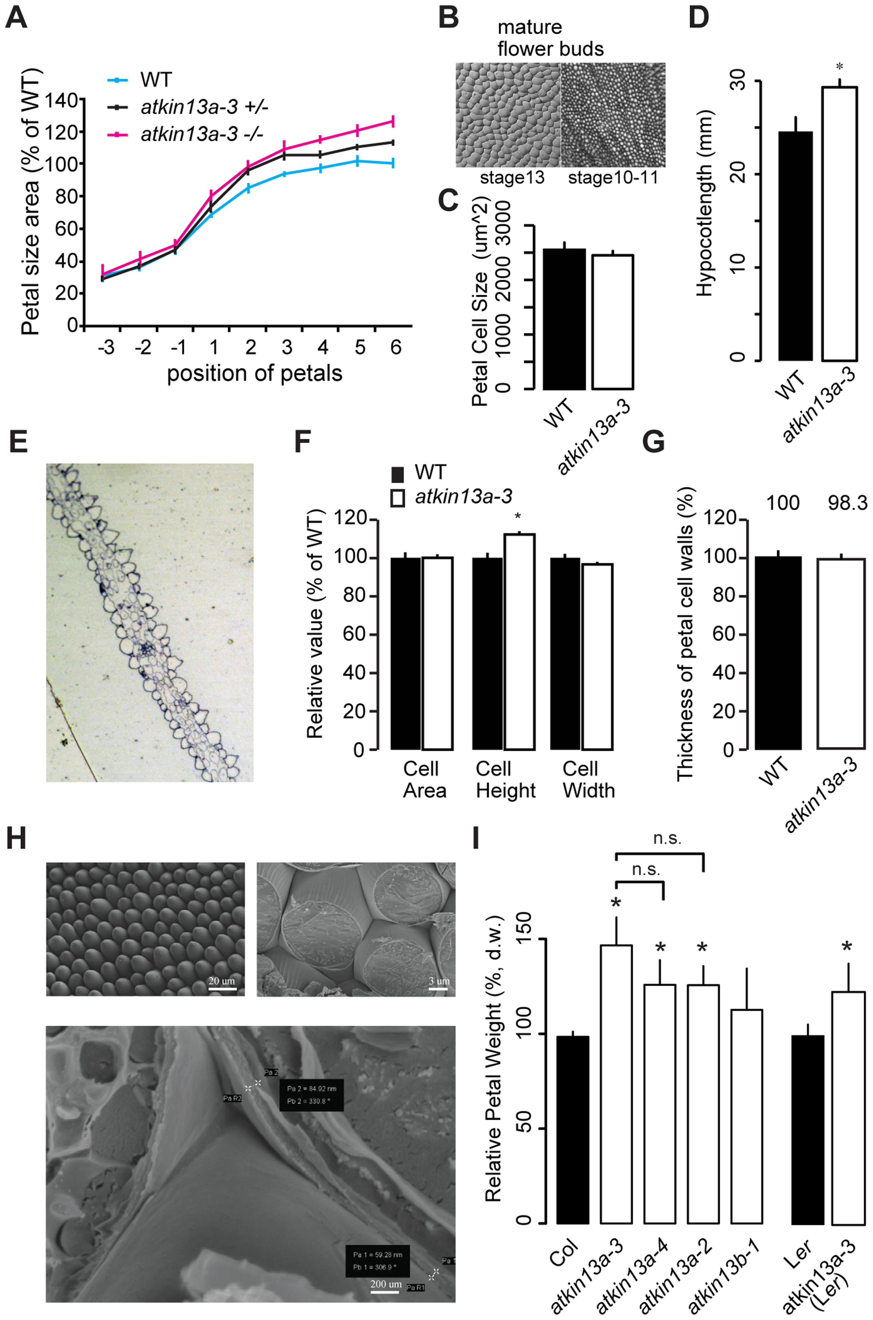Increased postmitotic cell expansion in <i>atkin13a</i> mutants.