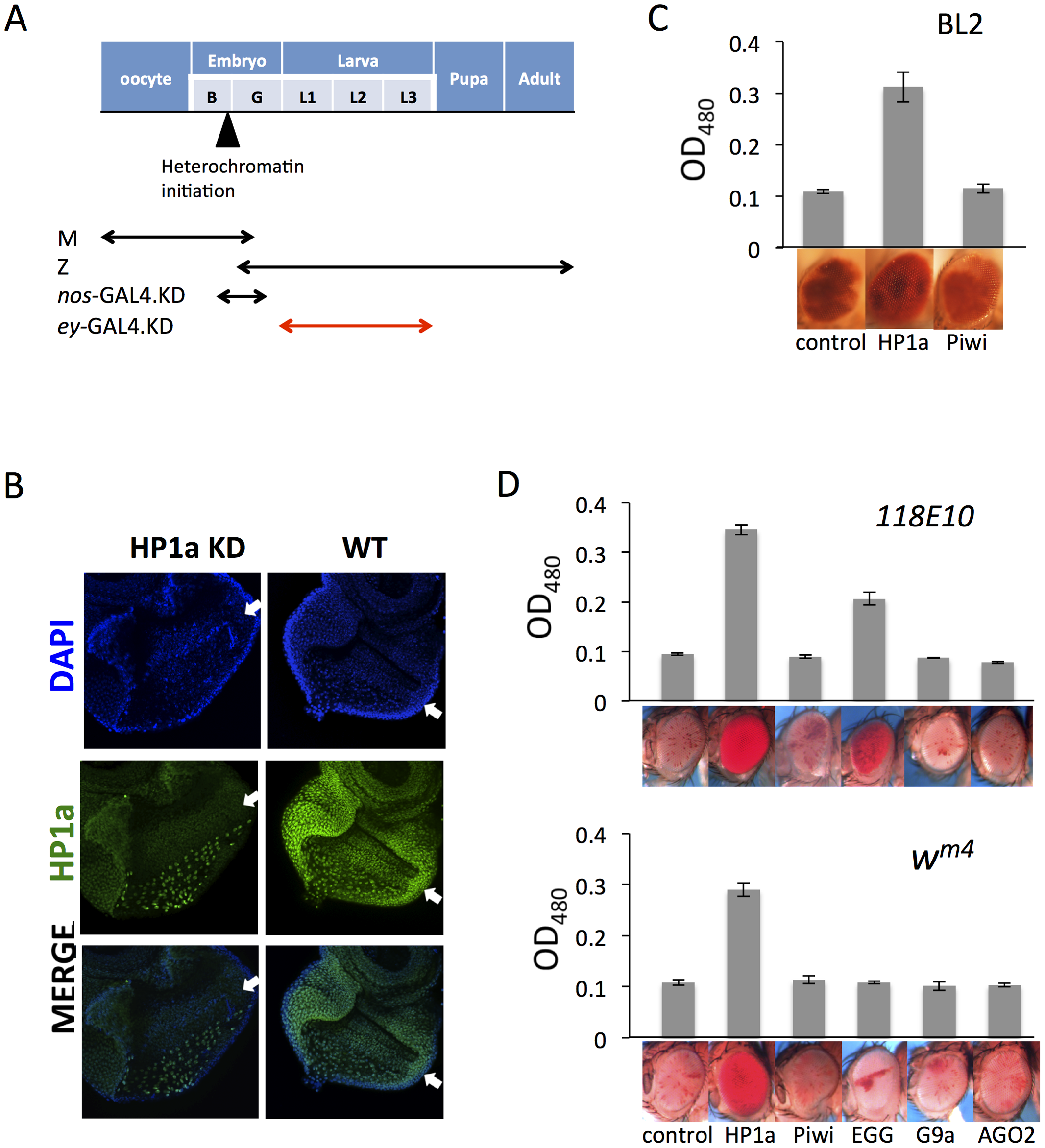 Eye lineage-specific knockdown (KD) of HP1a or EGG, but not of RNAi components Piwi or AGO2, suppresses variegation of a <i>white</i> PEV reporter.