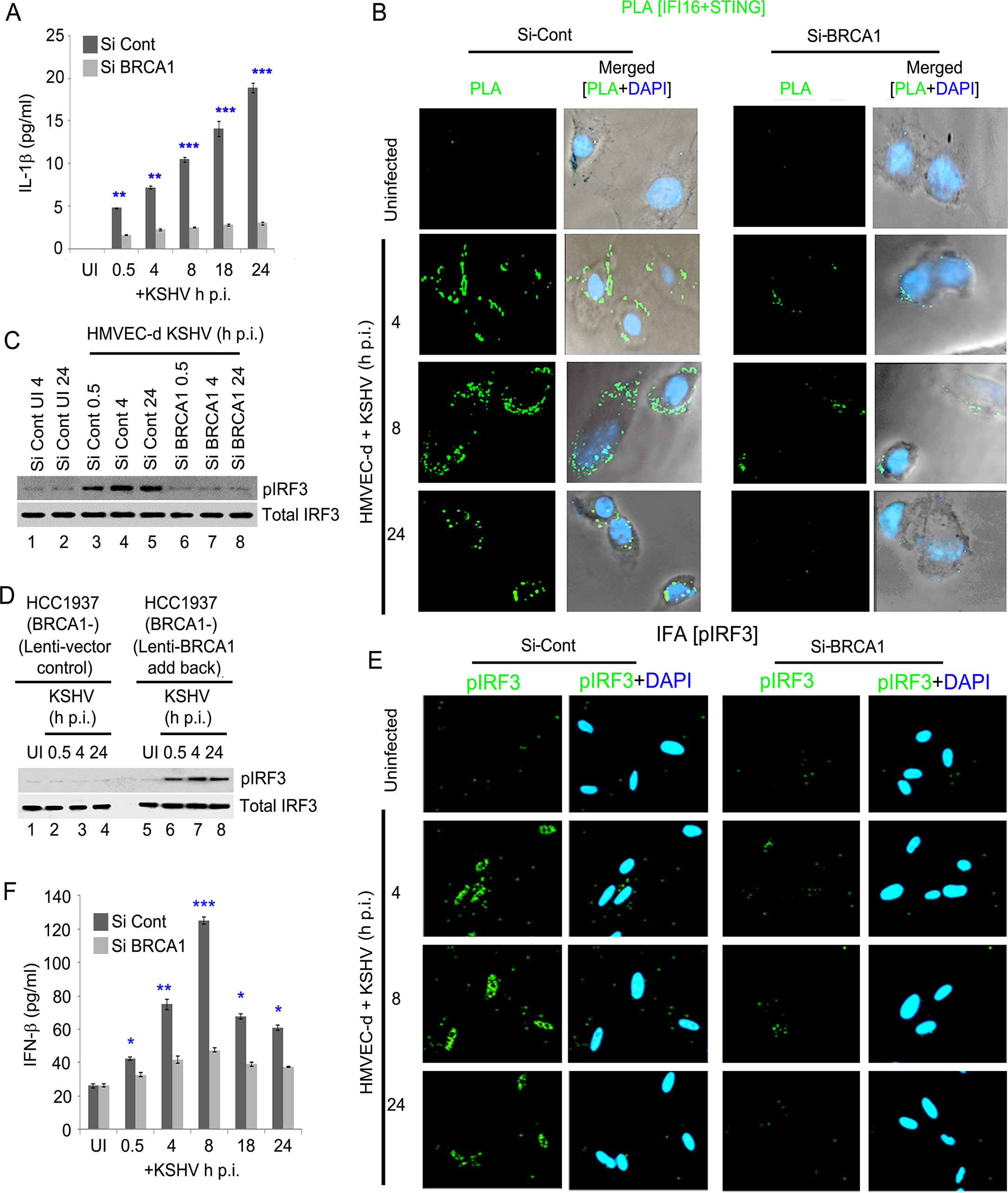 Effect of BRCA1 knockdown on subsequent IFI16 dependent innate immune response activation during KSHV infection.